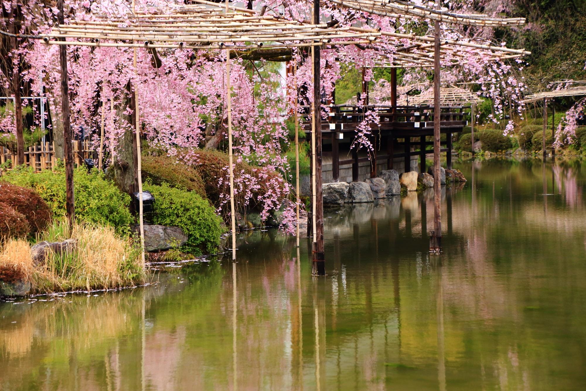素晴らしい平安神宮神苑の桜や春の水辺の情景
