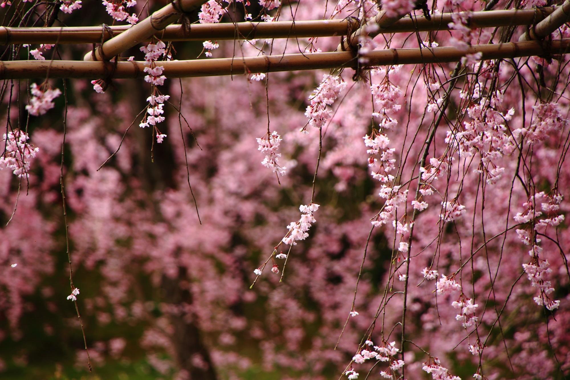 優雅に枝垂れる繊細で可憐な花