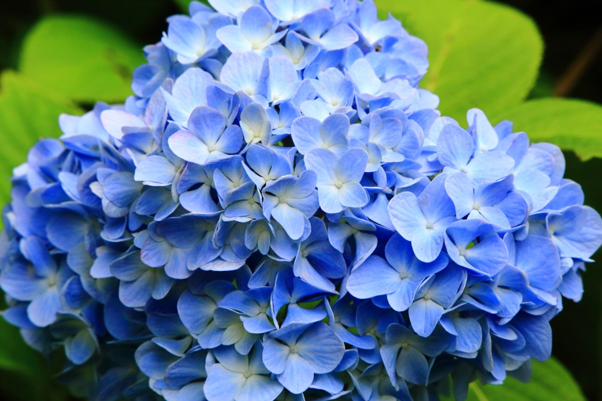 舞鶴自然文化園の淡く優しい水色の紫陽花