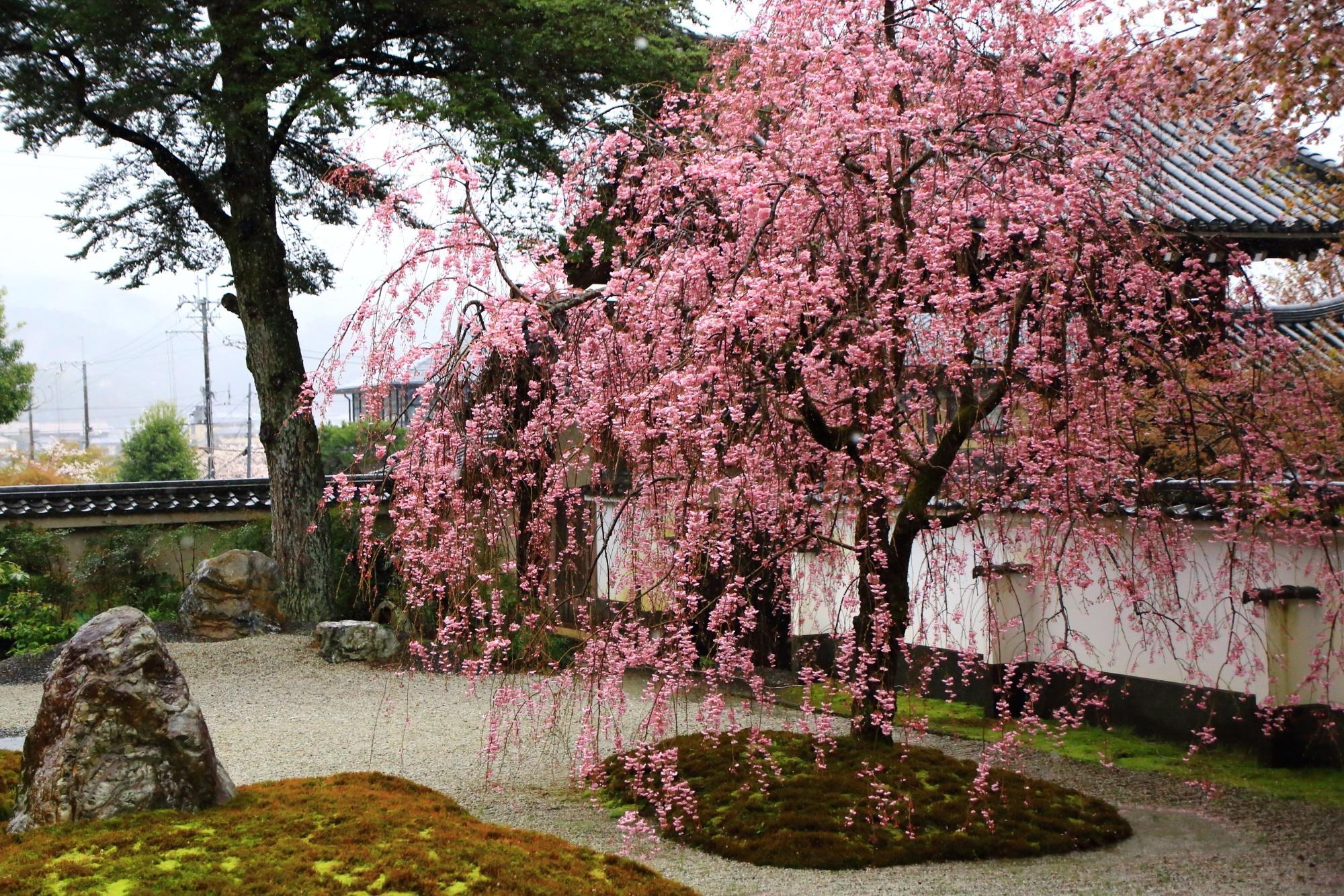 色鮮やかな満開のしだれ桜