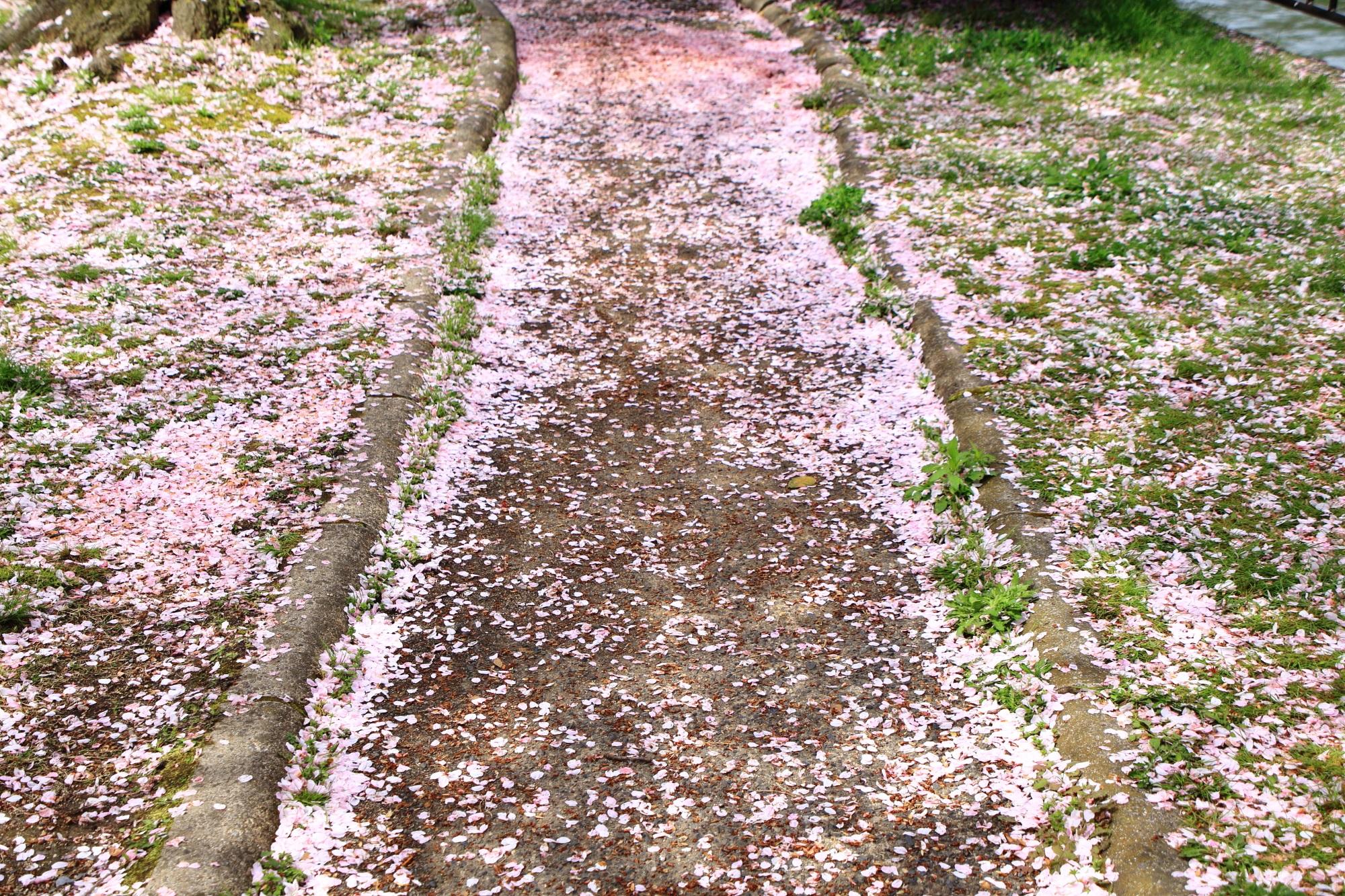 道にも芝生にも華やかに散る桜の花びら