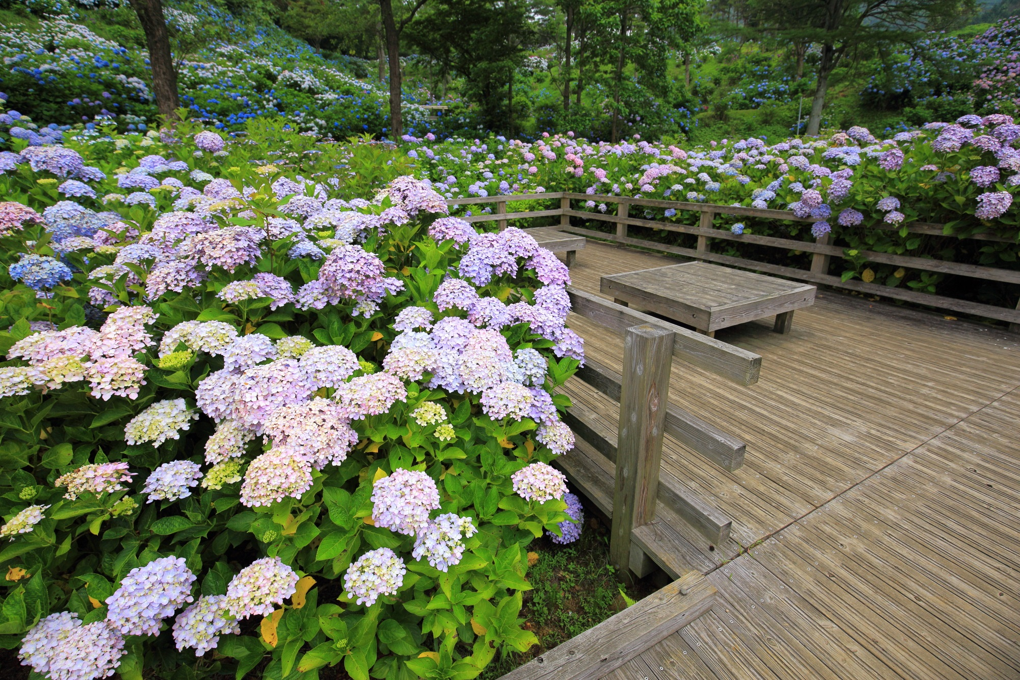 凄すぎる紫陽花の名所の舞鶴自然文化園