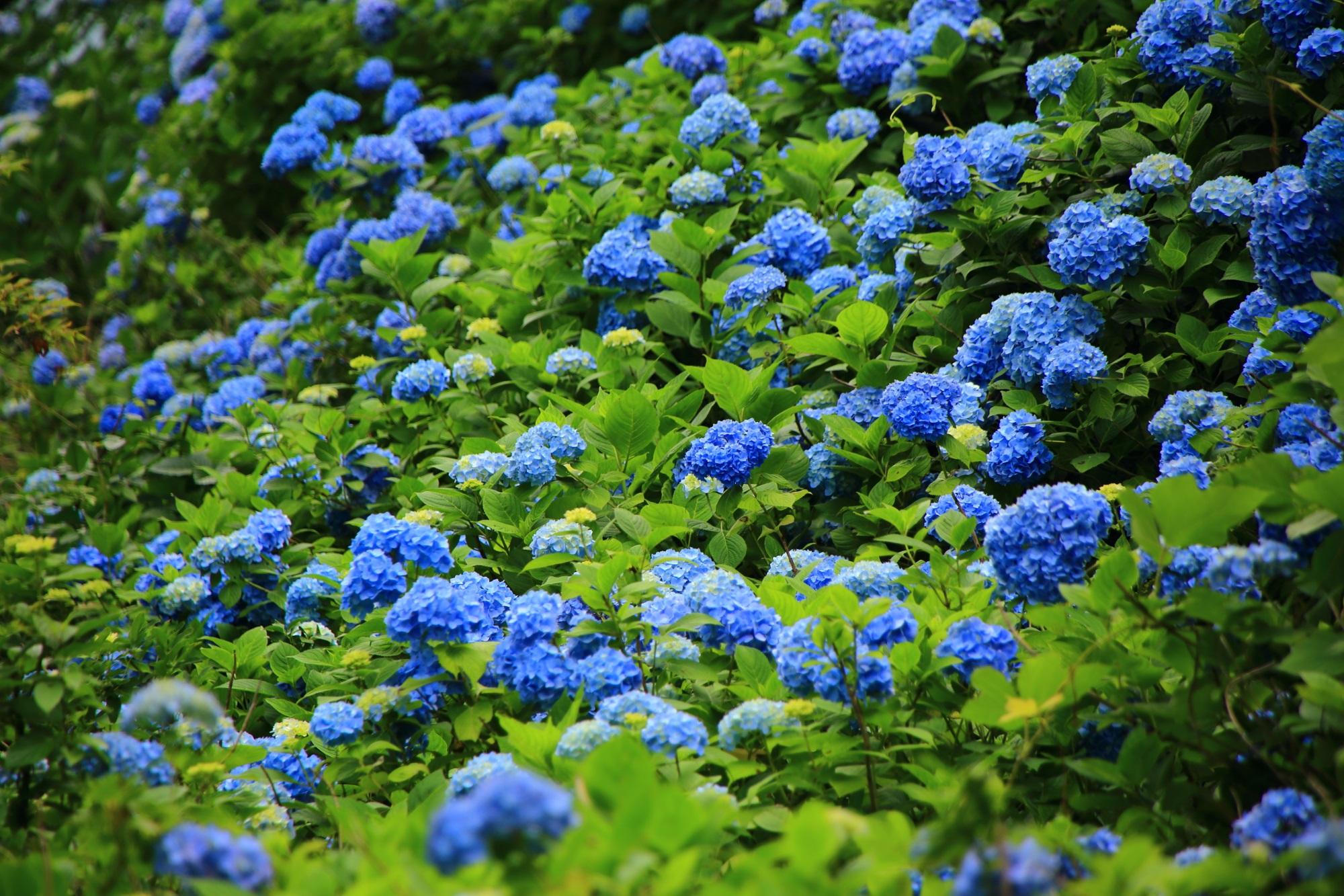 たくさんの濃い色の鮮やかな青い紫陽花