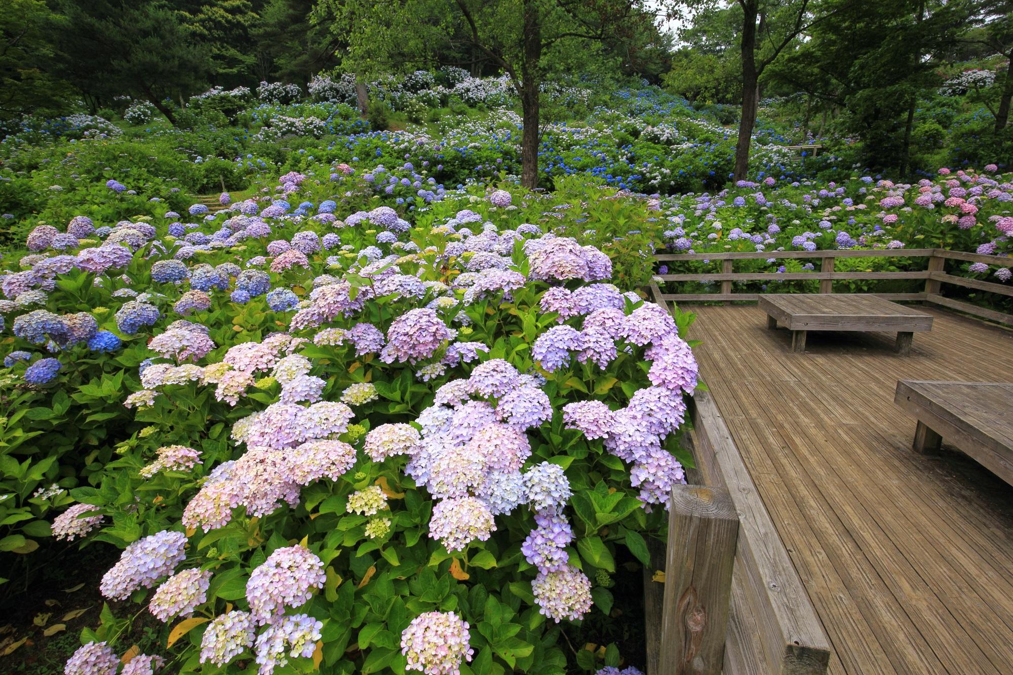 高画質 写真 舞鶴自然文化園 紫陽花