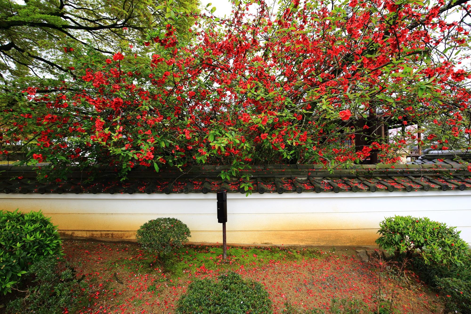 名前は不明も平等院の赤い花を咲かせる木