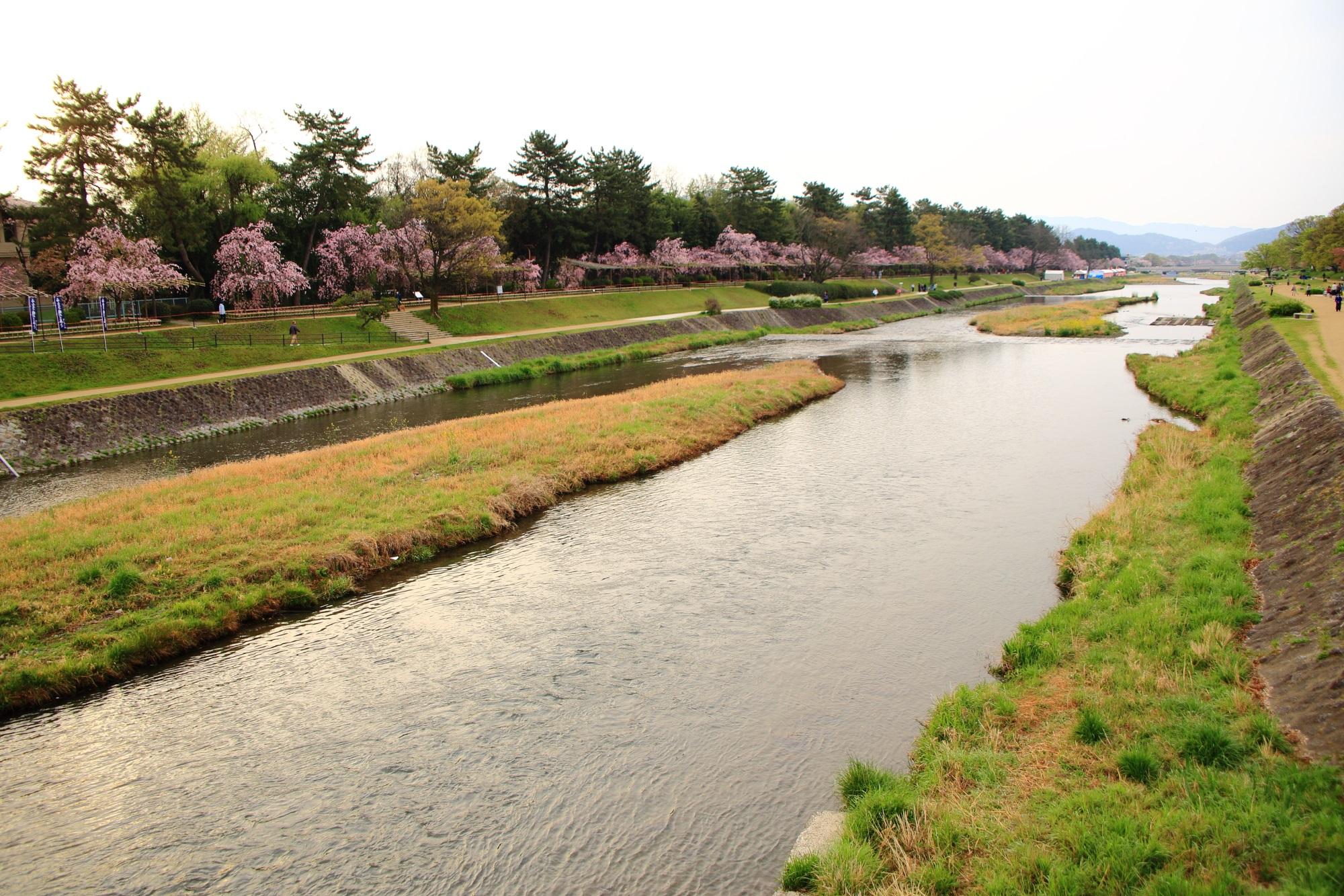 北山大橋から眺めた半木の道のしだれ桜