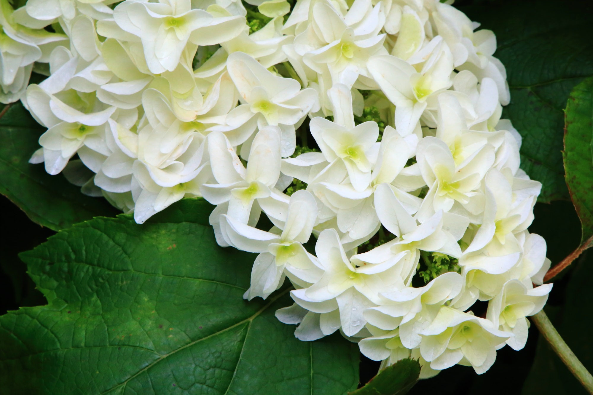 淡く優しい白色をしているカシワバアジサイ