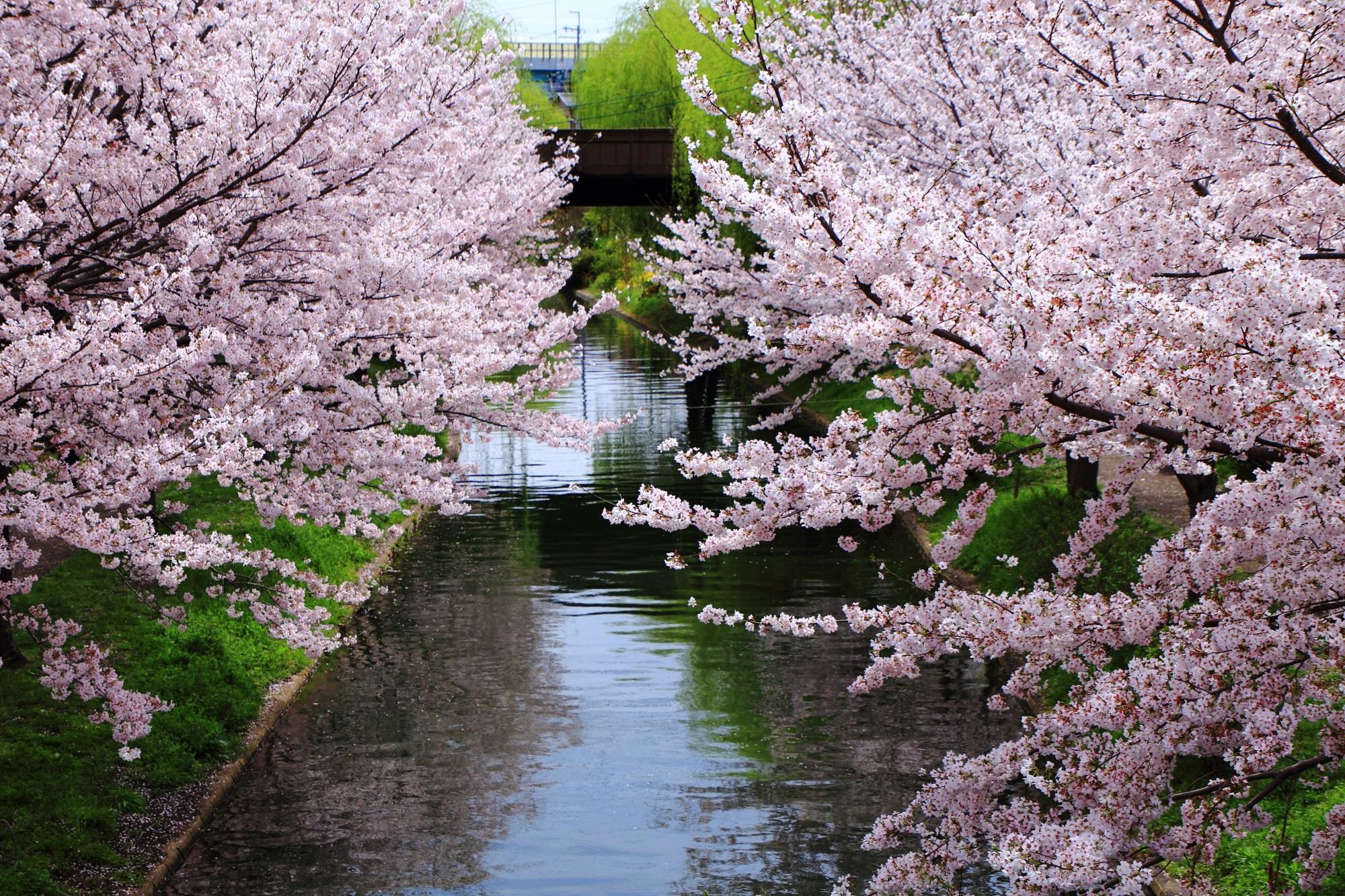 宇治川派流沿いに続く桜並木