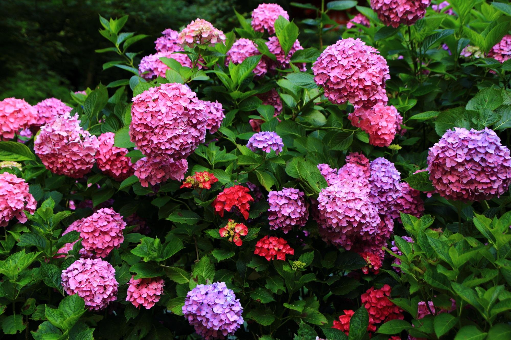 ピンクに加え赤や紫などの岩船寺の紫陽花