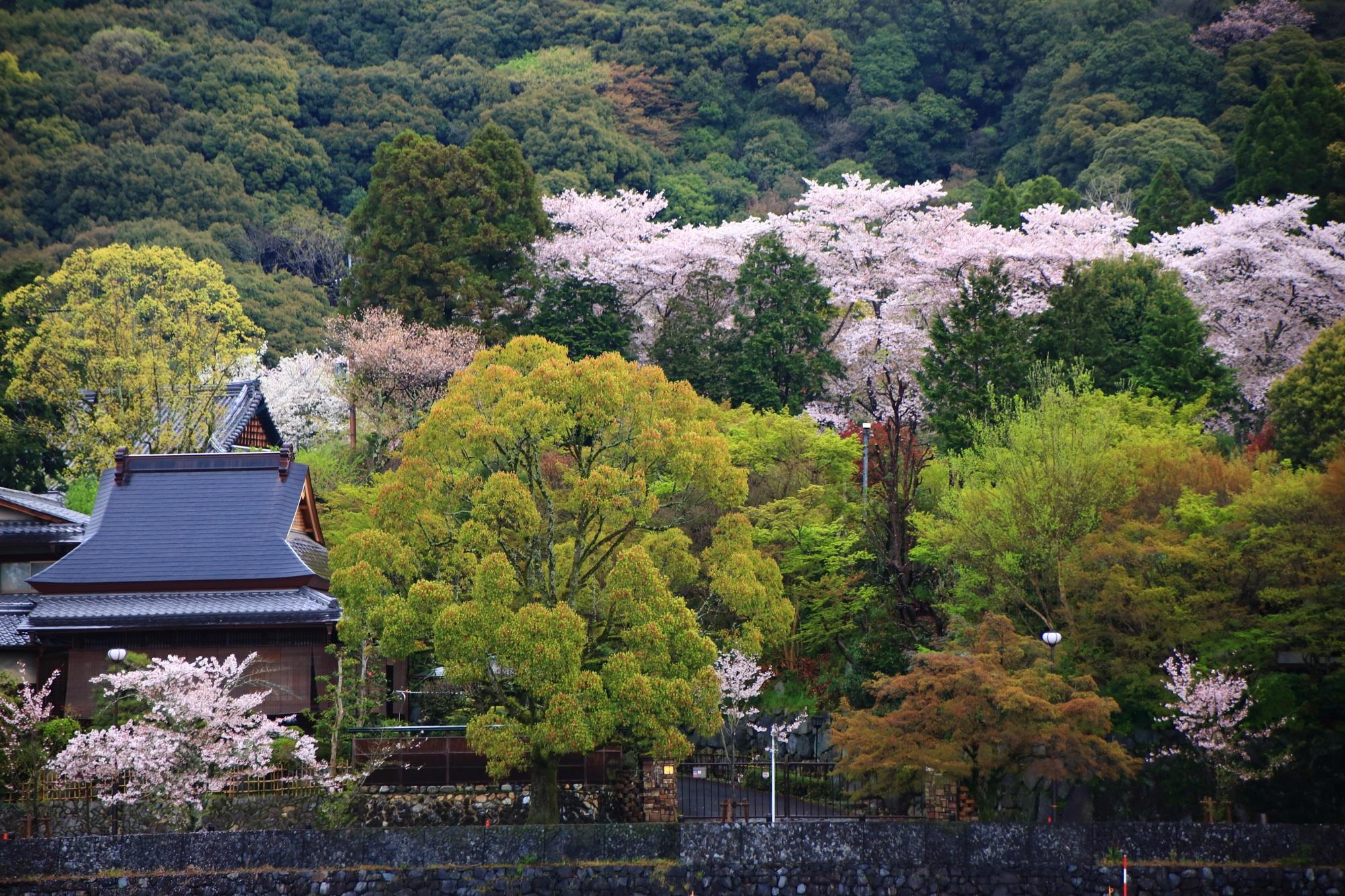 緑の中で華やぐ満開の桜