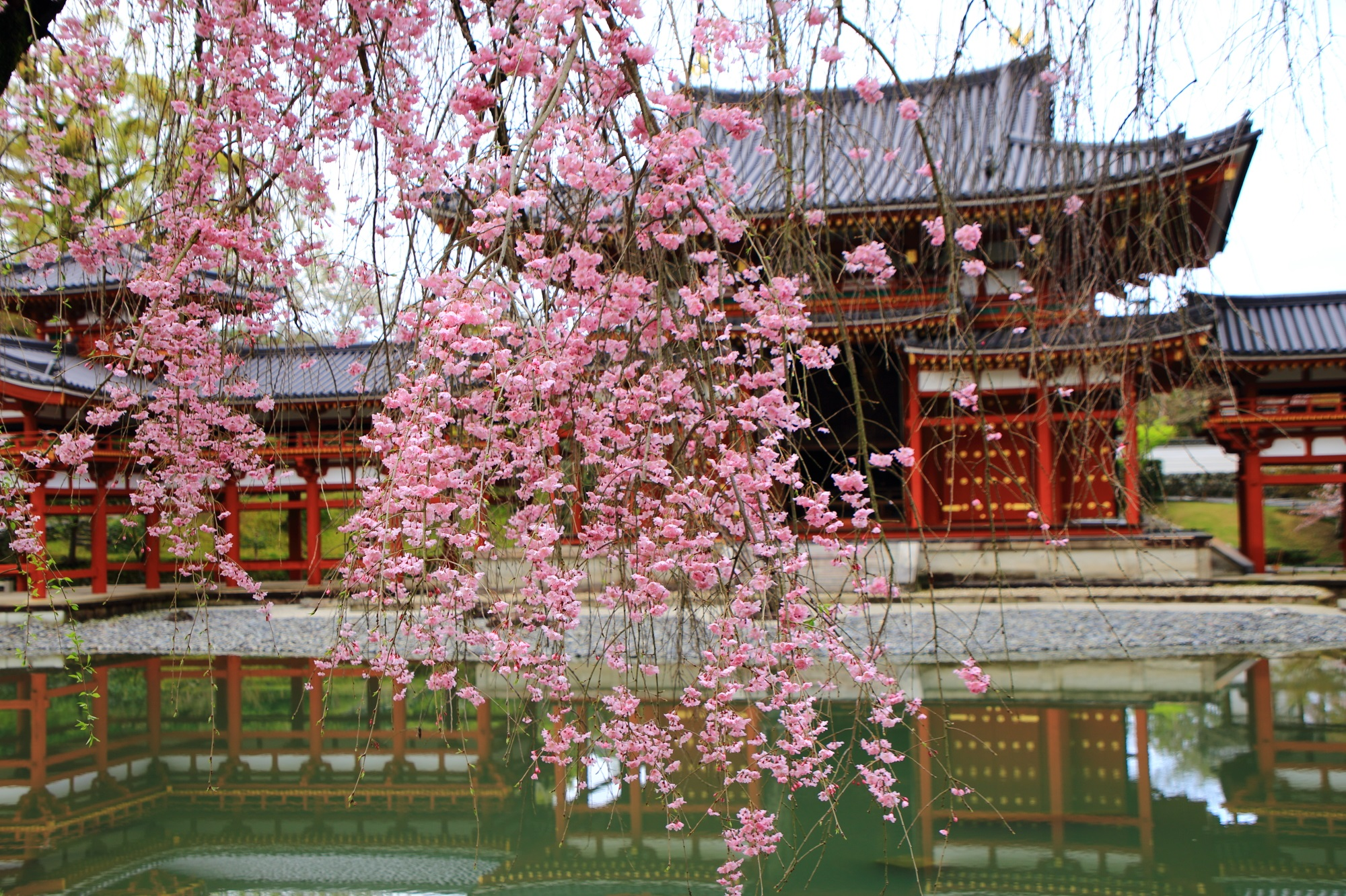 Kyoto Byodo-in Temple cherry blossoms