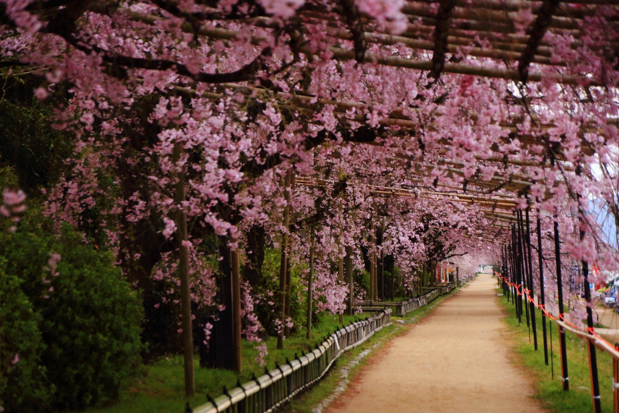 しだれ桜の鮮やかな春色の空間