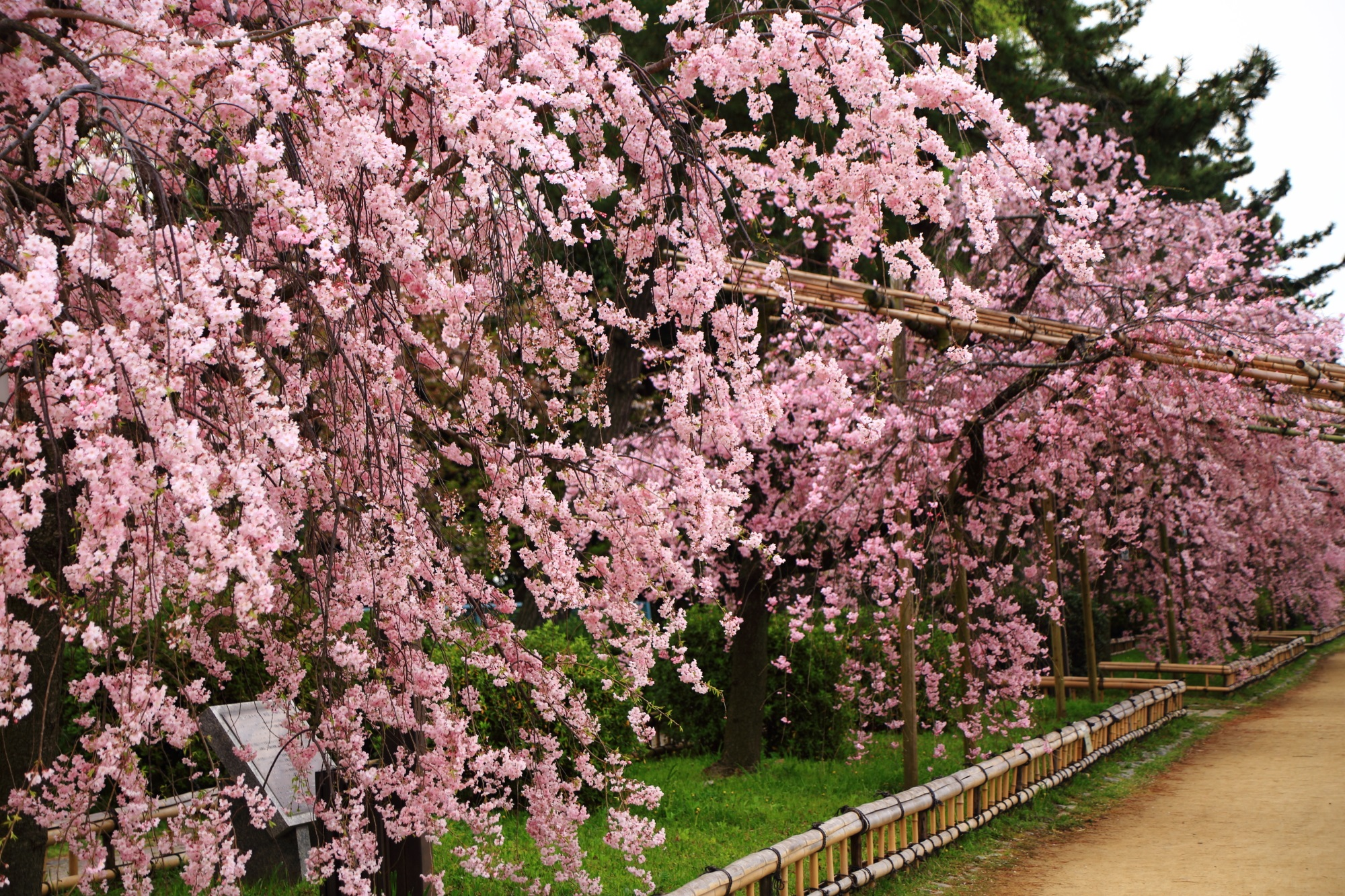 半木の道の優雅に咲き誇る満開のしだれ桜