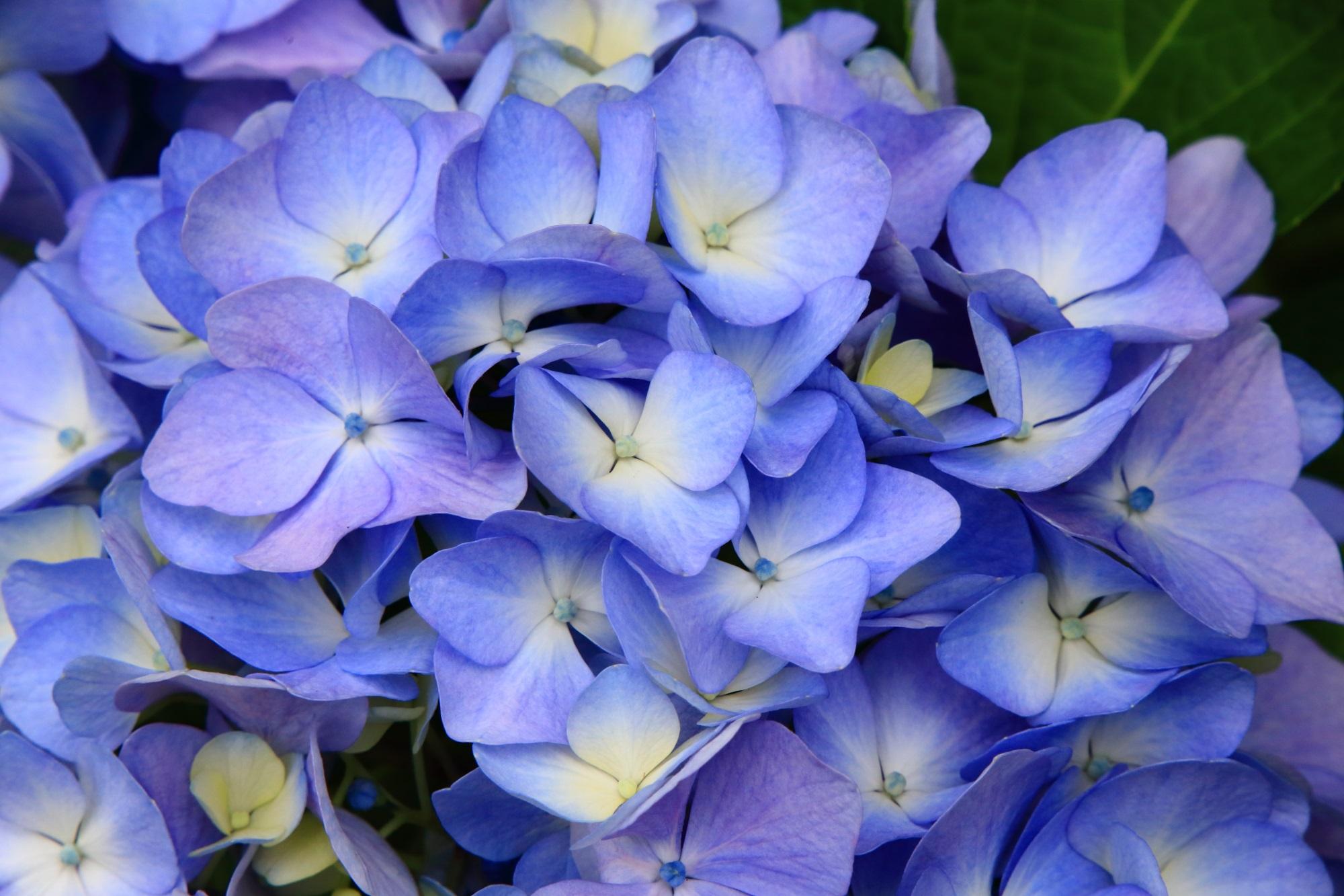 厳選しきれない素晴らしいたくさんの紫陽花