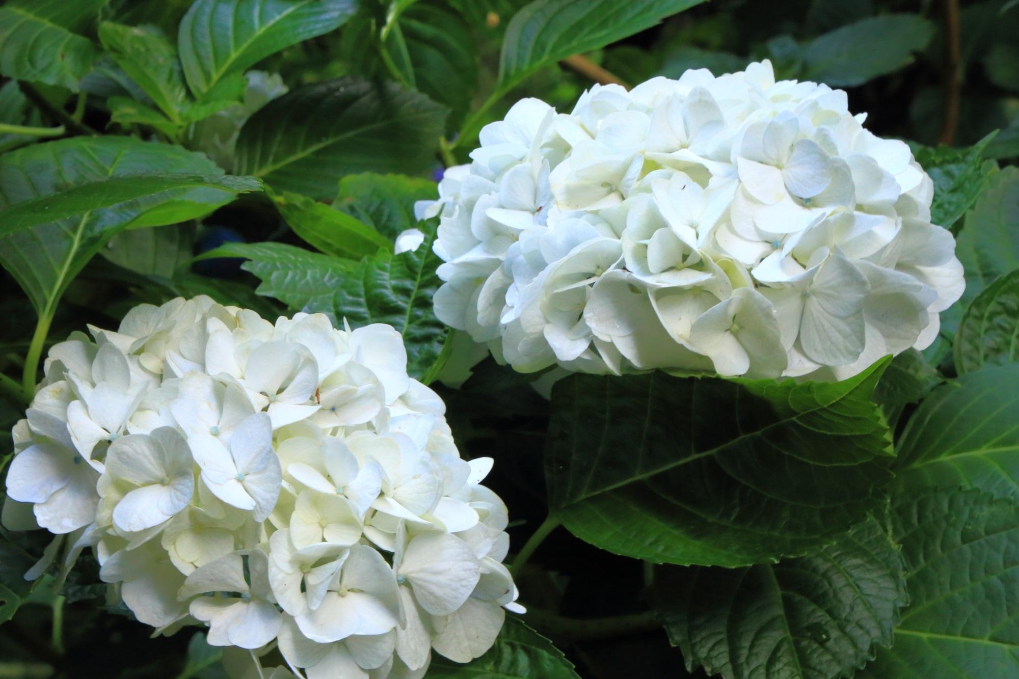 ほのかに光るような真っ白な紫陽花