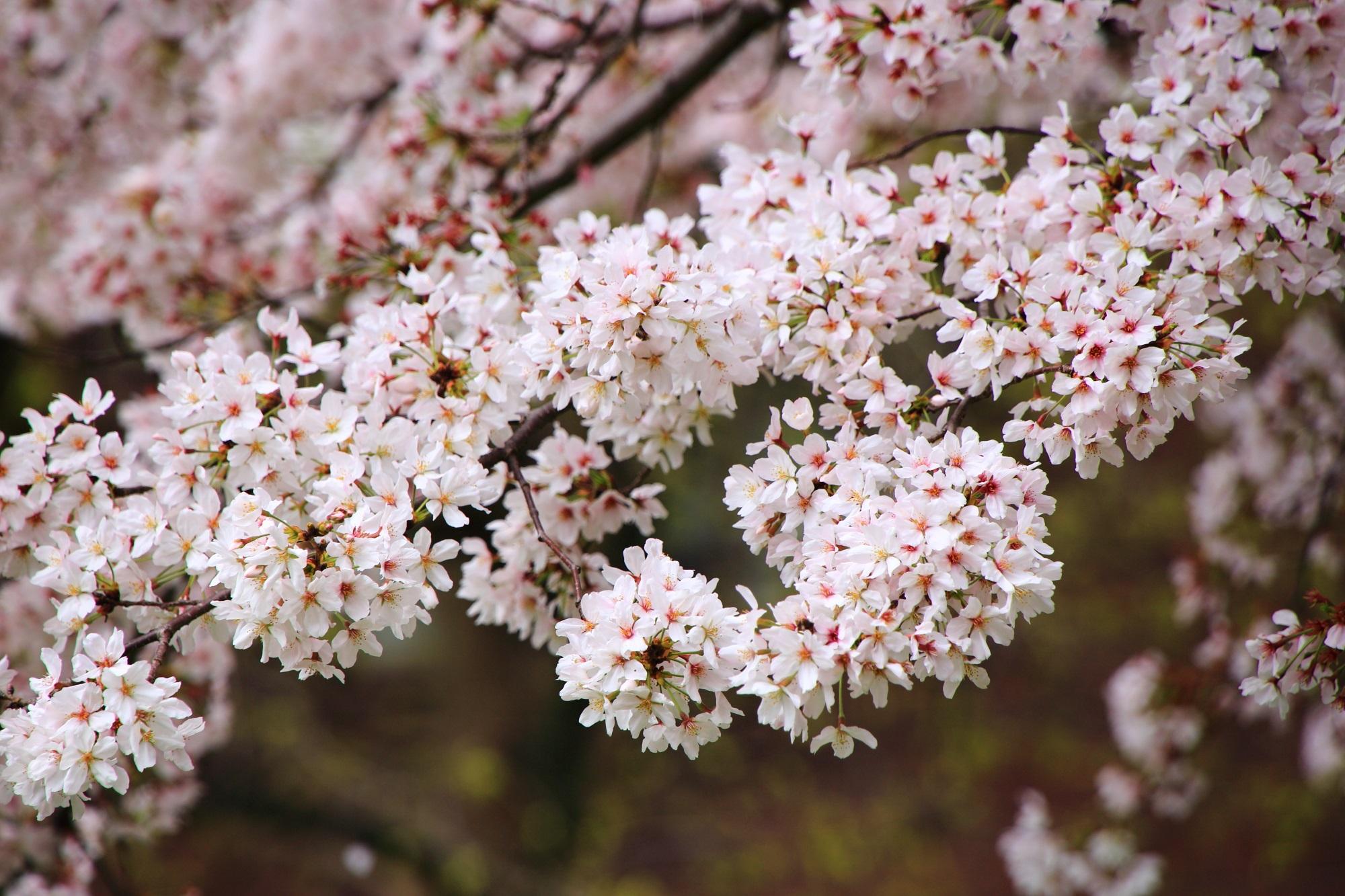 花をいっぱいつけて咲き誇る満開の桜