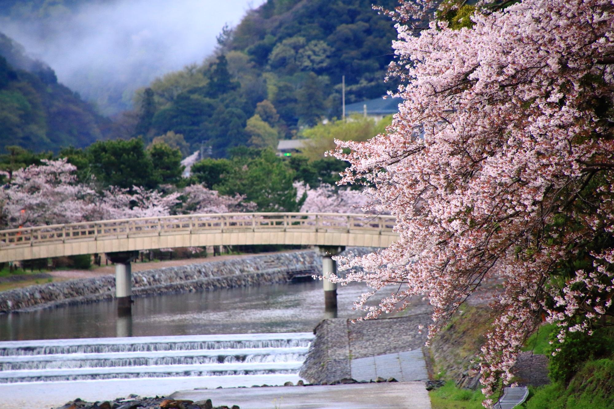 宇治川の溢れんばかりに咲き誇る桜