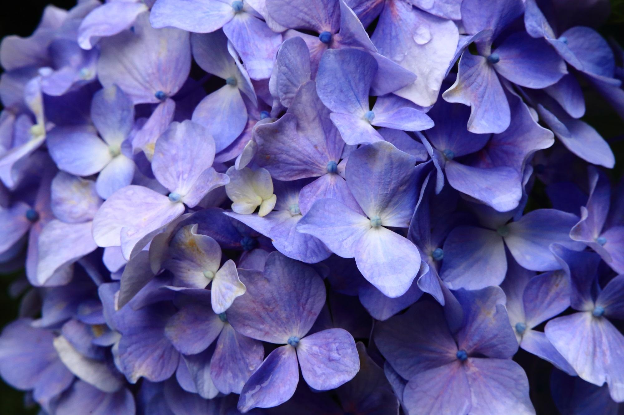 福知山観音寺の美しく妖艶な薄い青色の紫陽花