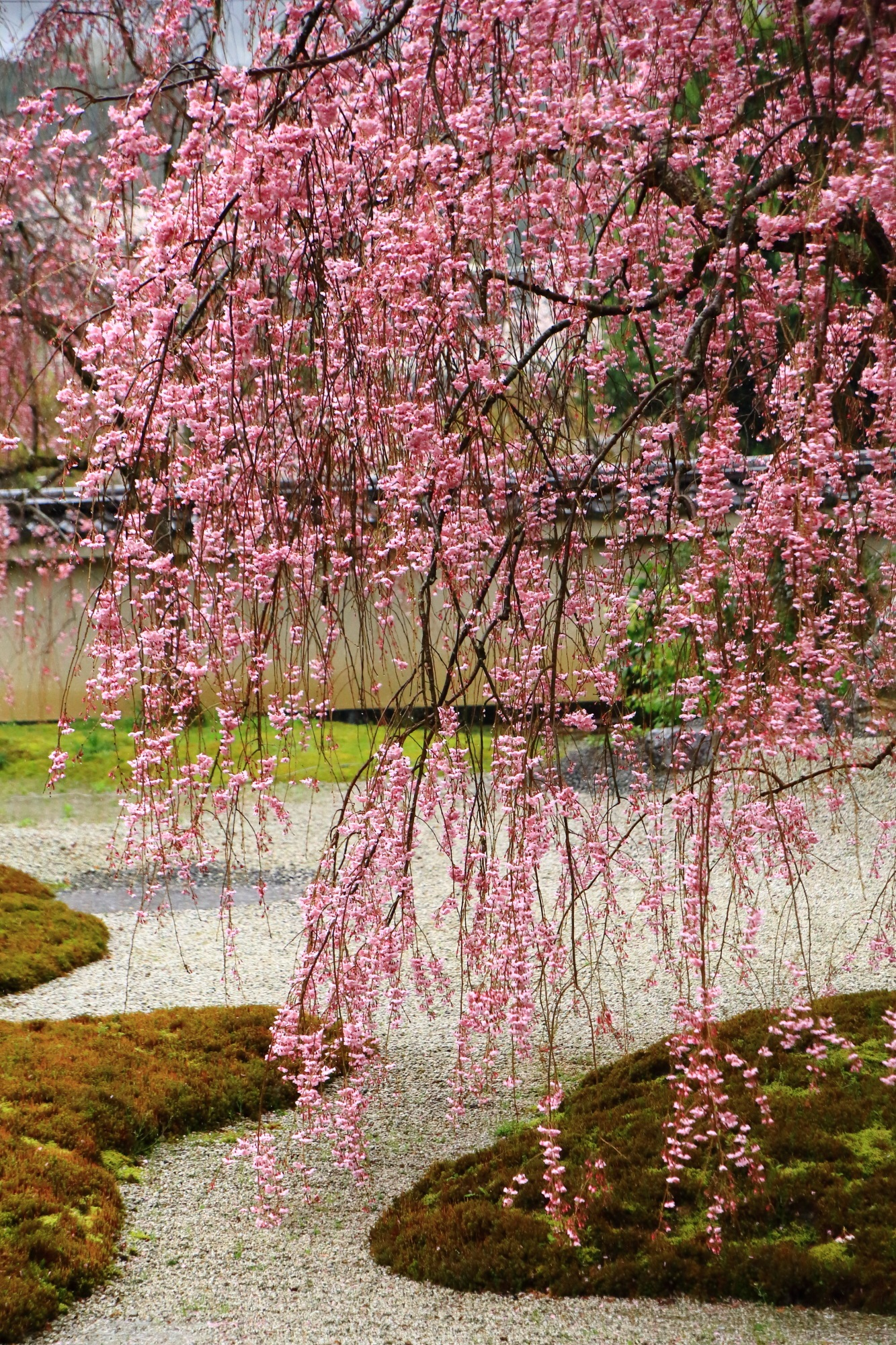 Kyoto Jissoin-Temple weeping cherry tree