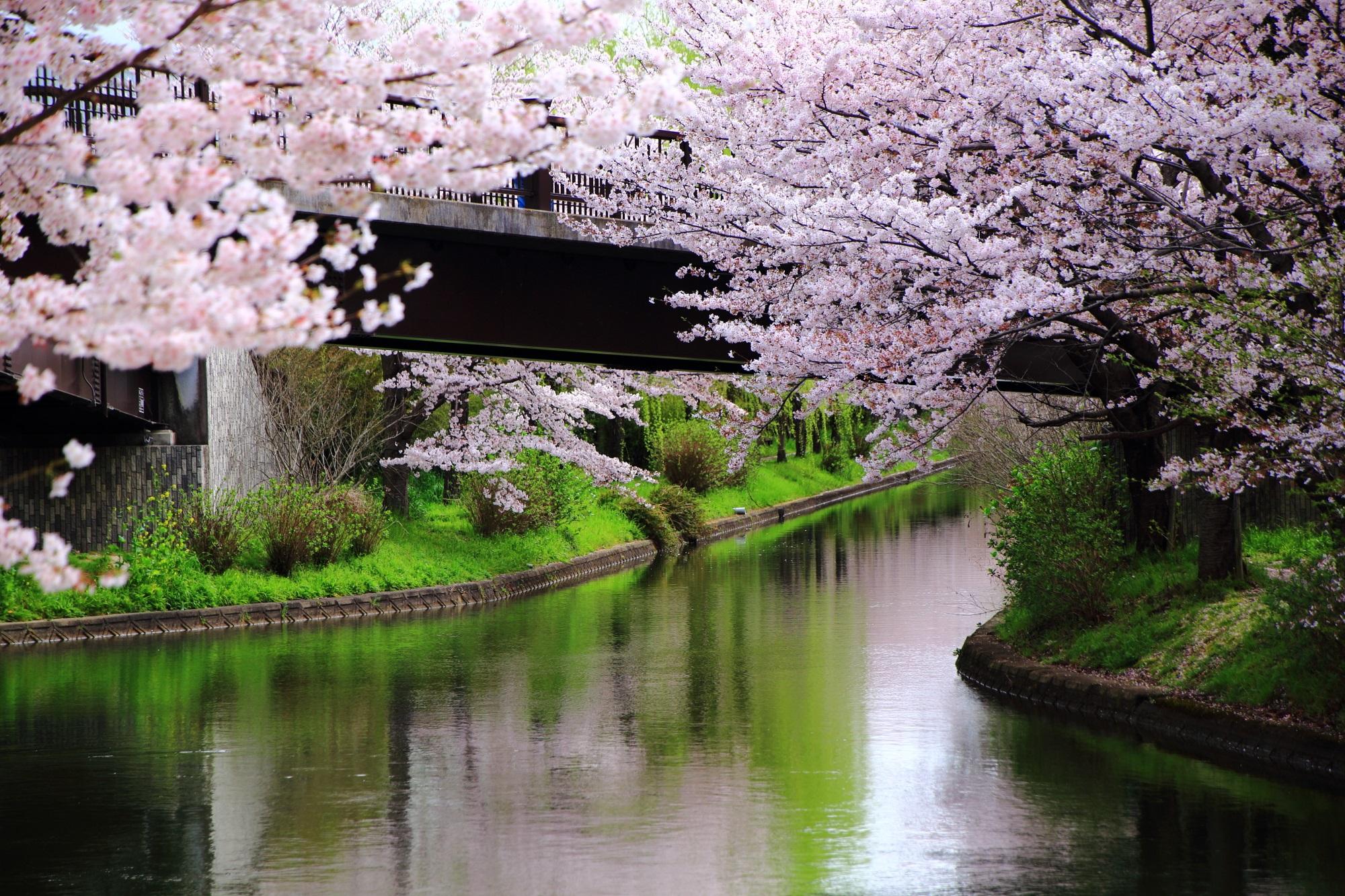 であい橋の桜とピンクの桜の水鏡