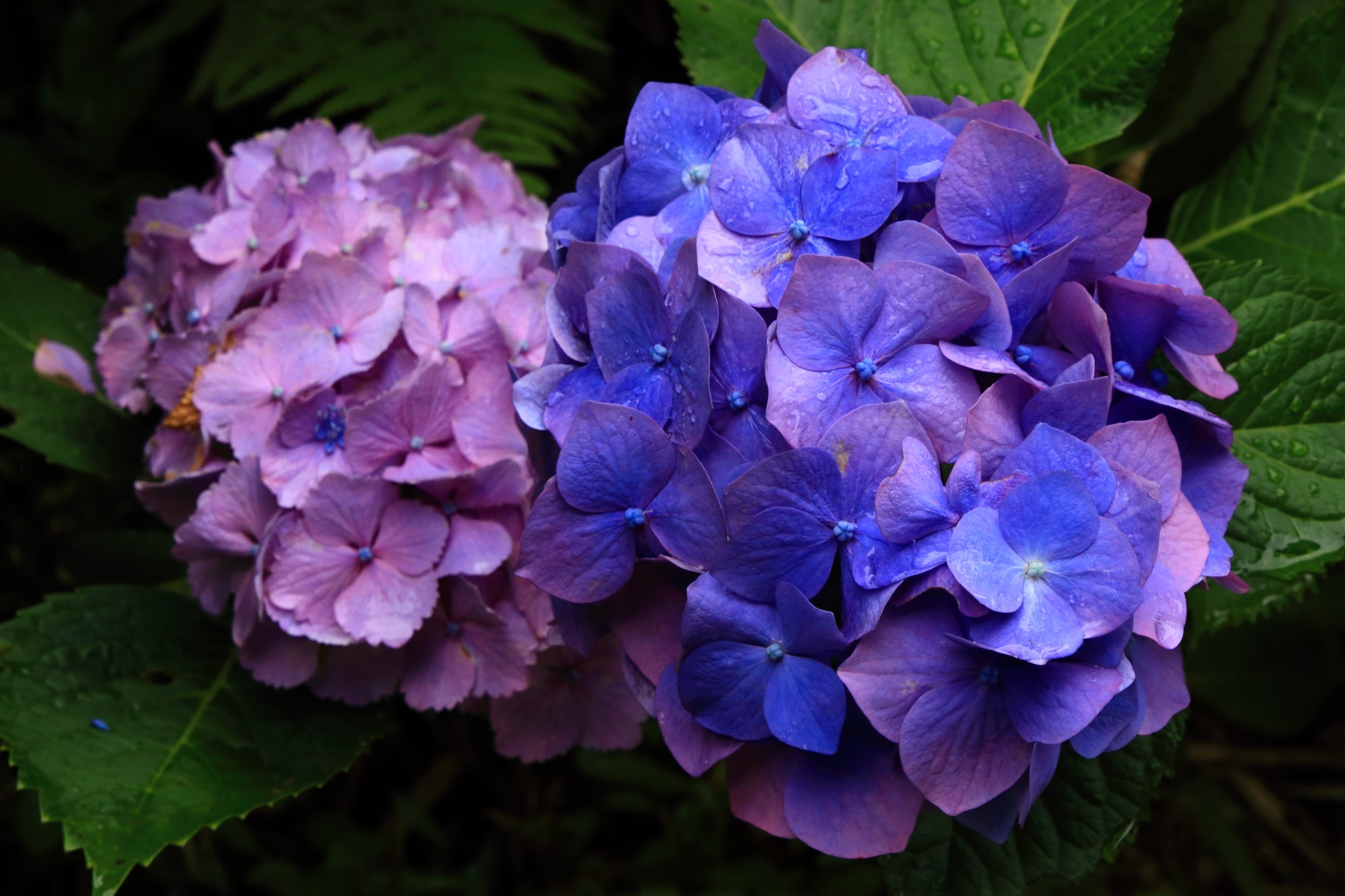 丹州観音寺の青が強めの艶やかな紫の紫陽花