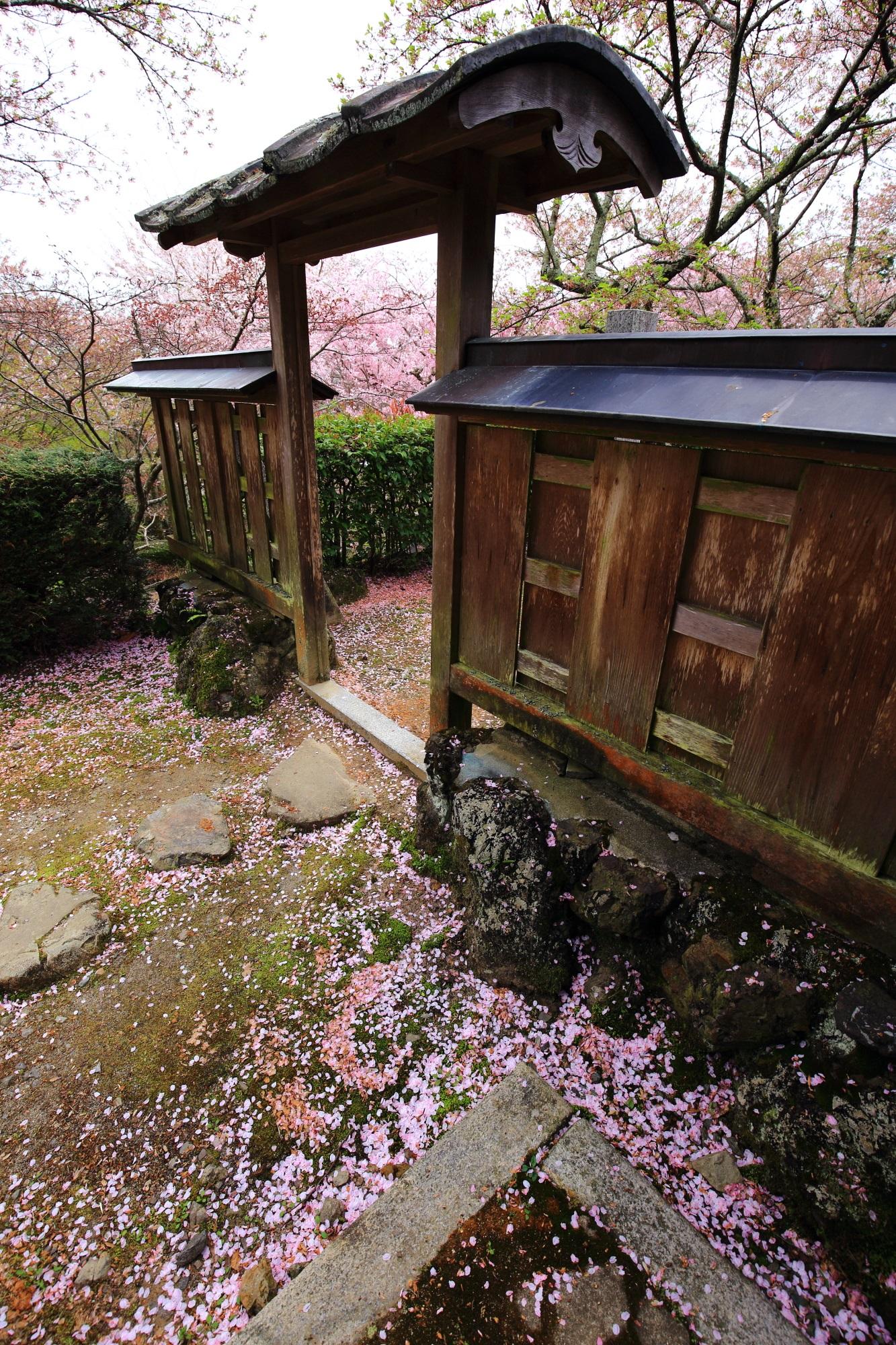 勝持寺の素晴らしいしだれ桜と散り桜