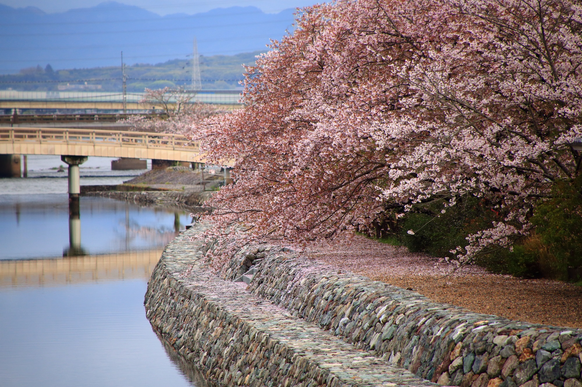 cherry blossoms Uji-gawa-River Kyoto
