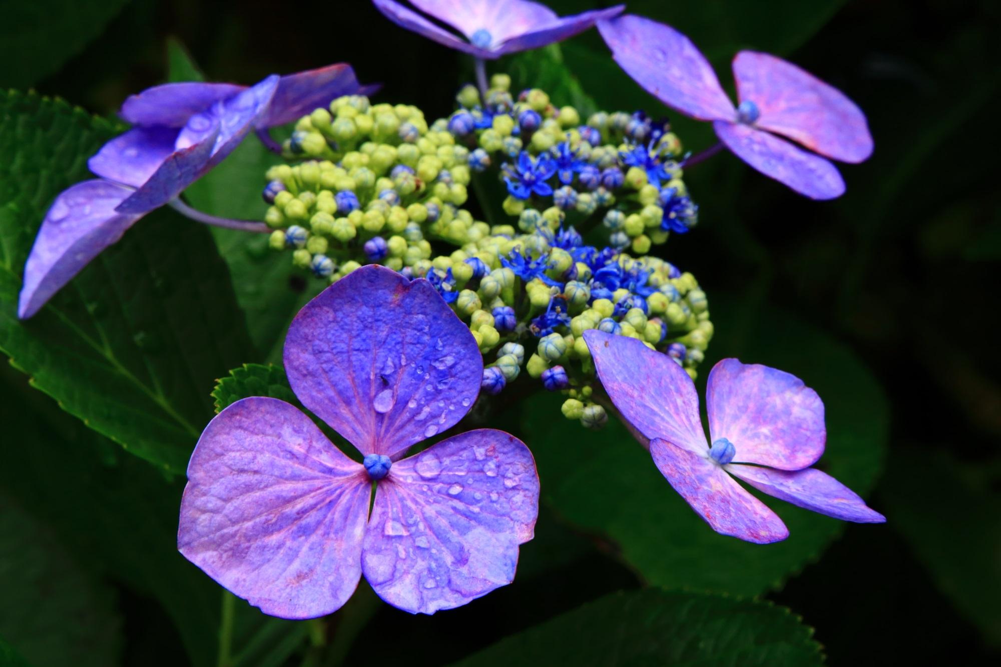 丹州観音寺の雨水で潤う鮮やかな額紫陽花