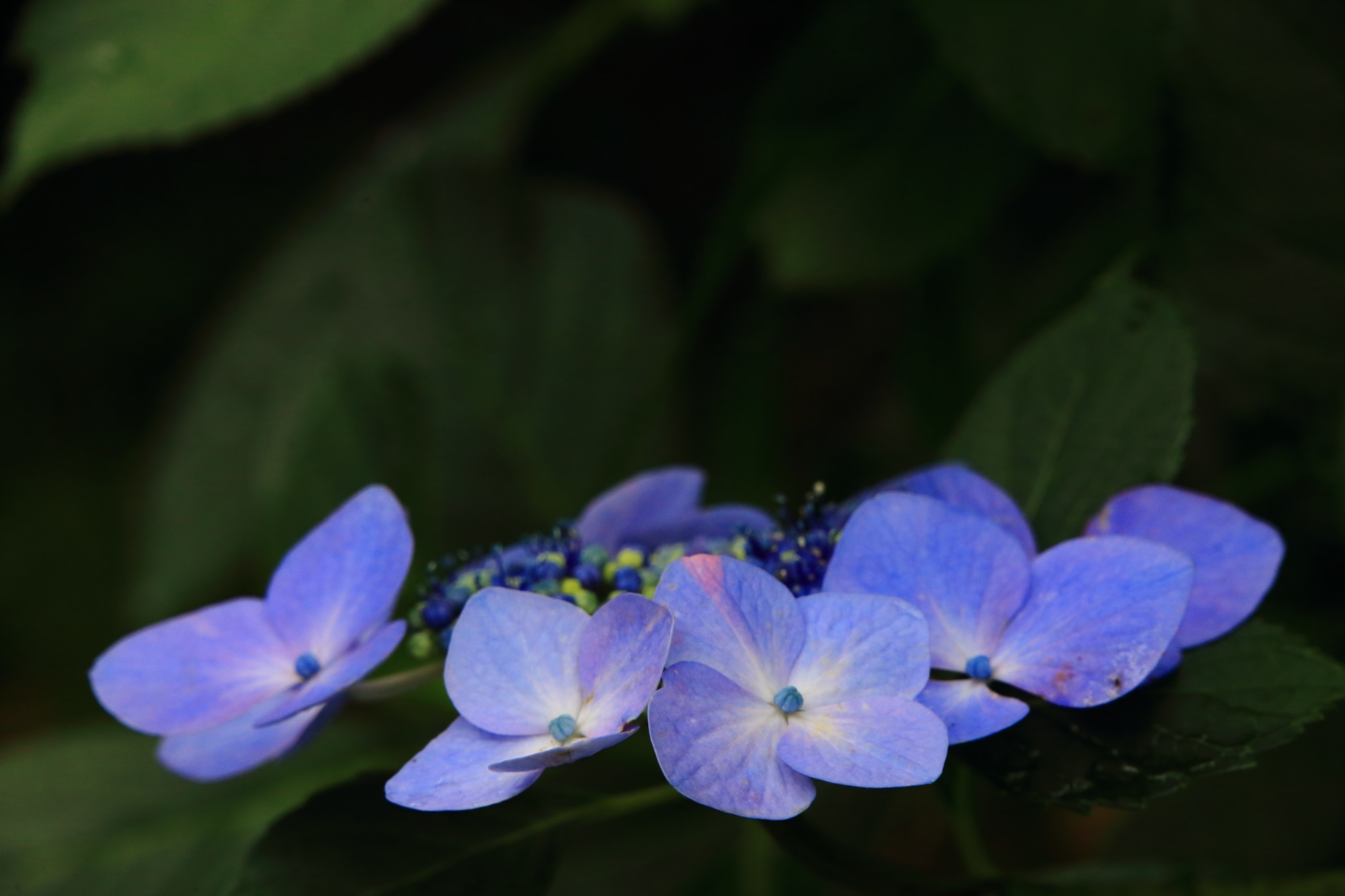 丹州観音寺の独特の青色をした額紫陽花