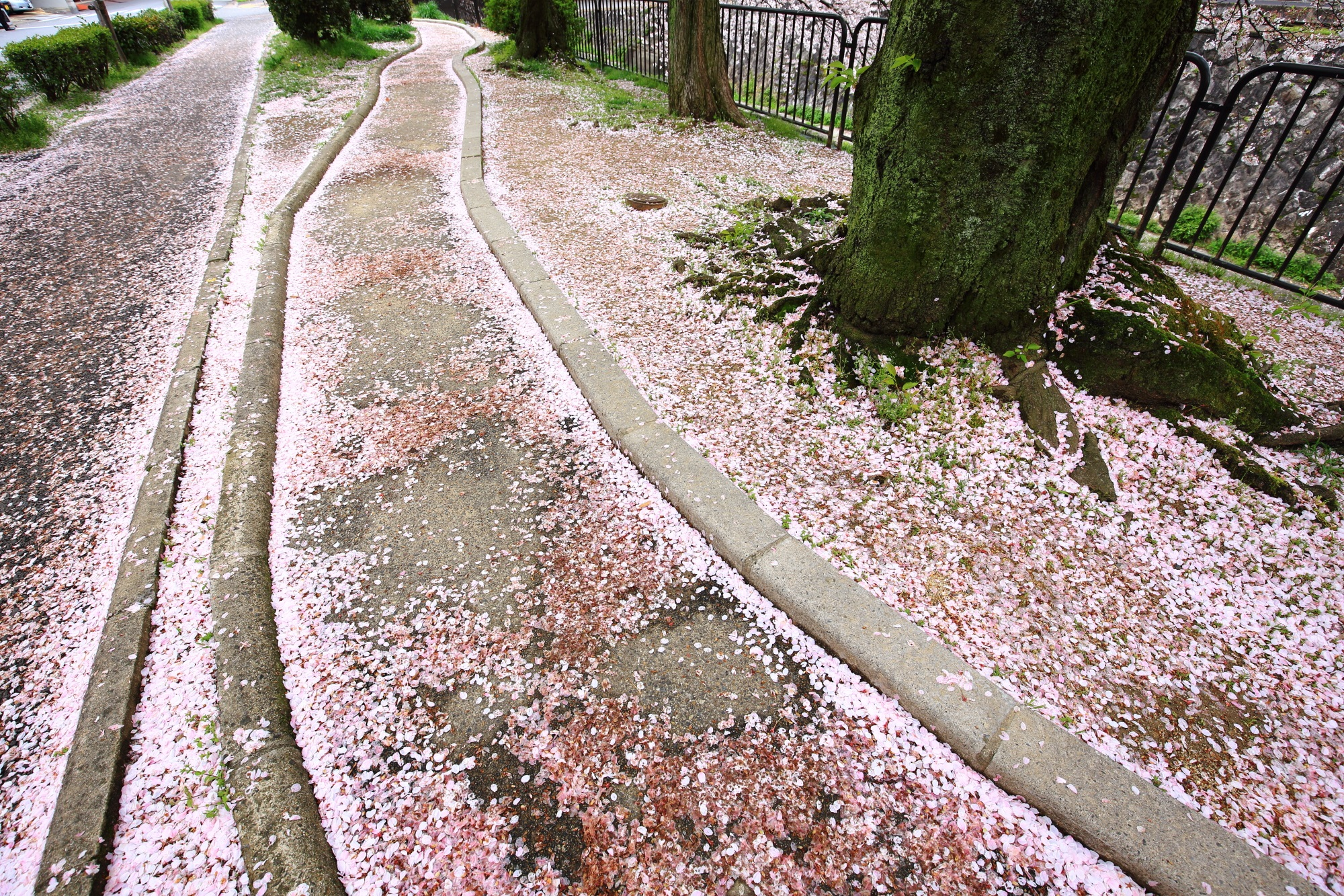 道も道の脇も華やかなピンクに染める散り桜