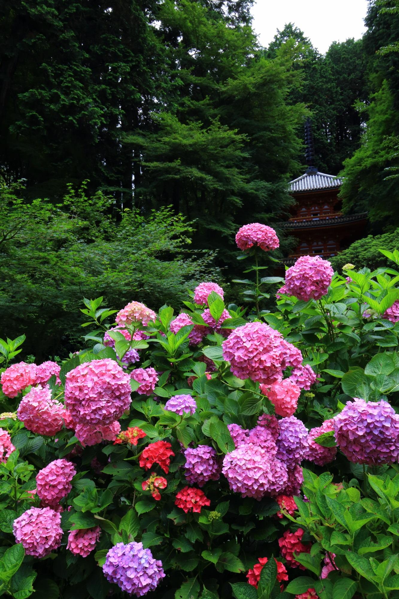 岩船寺の絵になる紫陽花と三重塔