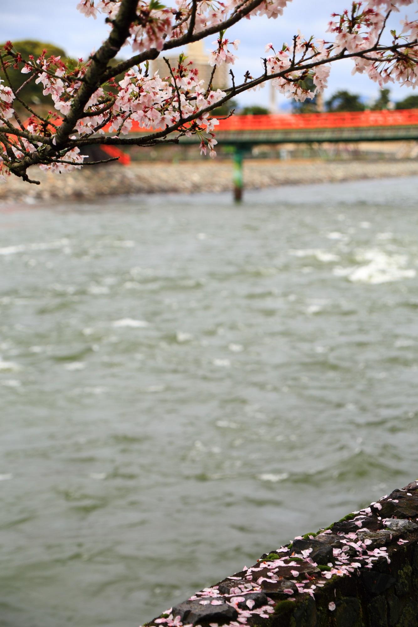 散り桜にそまる風情ある春の宇治川と朝霧橋