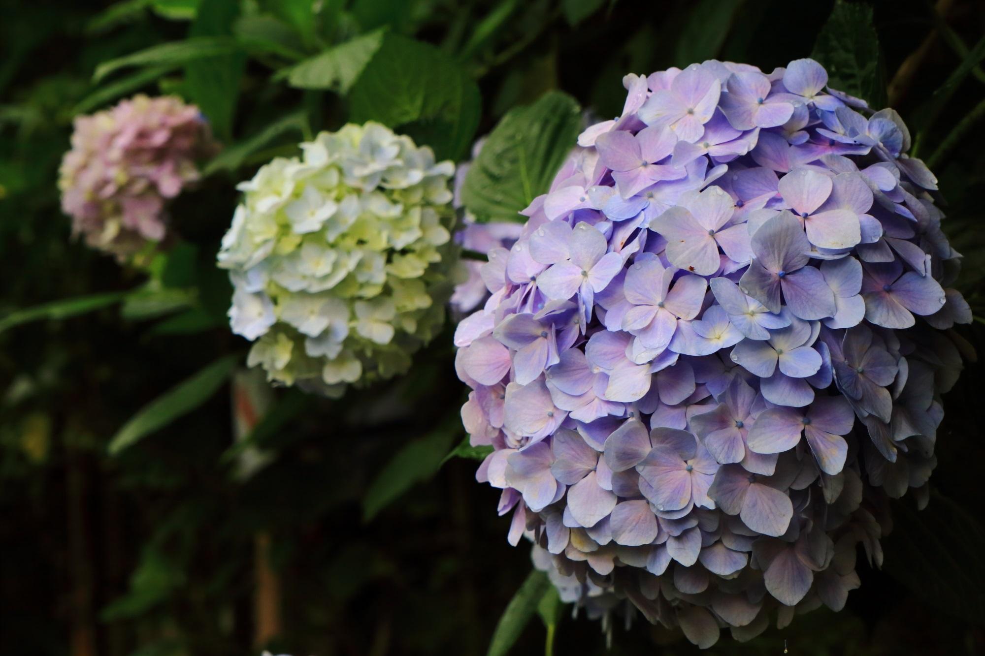 丹州観音寺の七観音巡りの小道の紫陽花