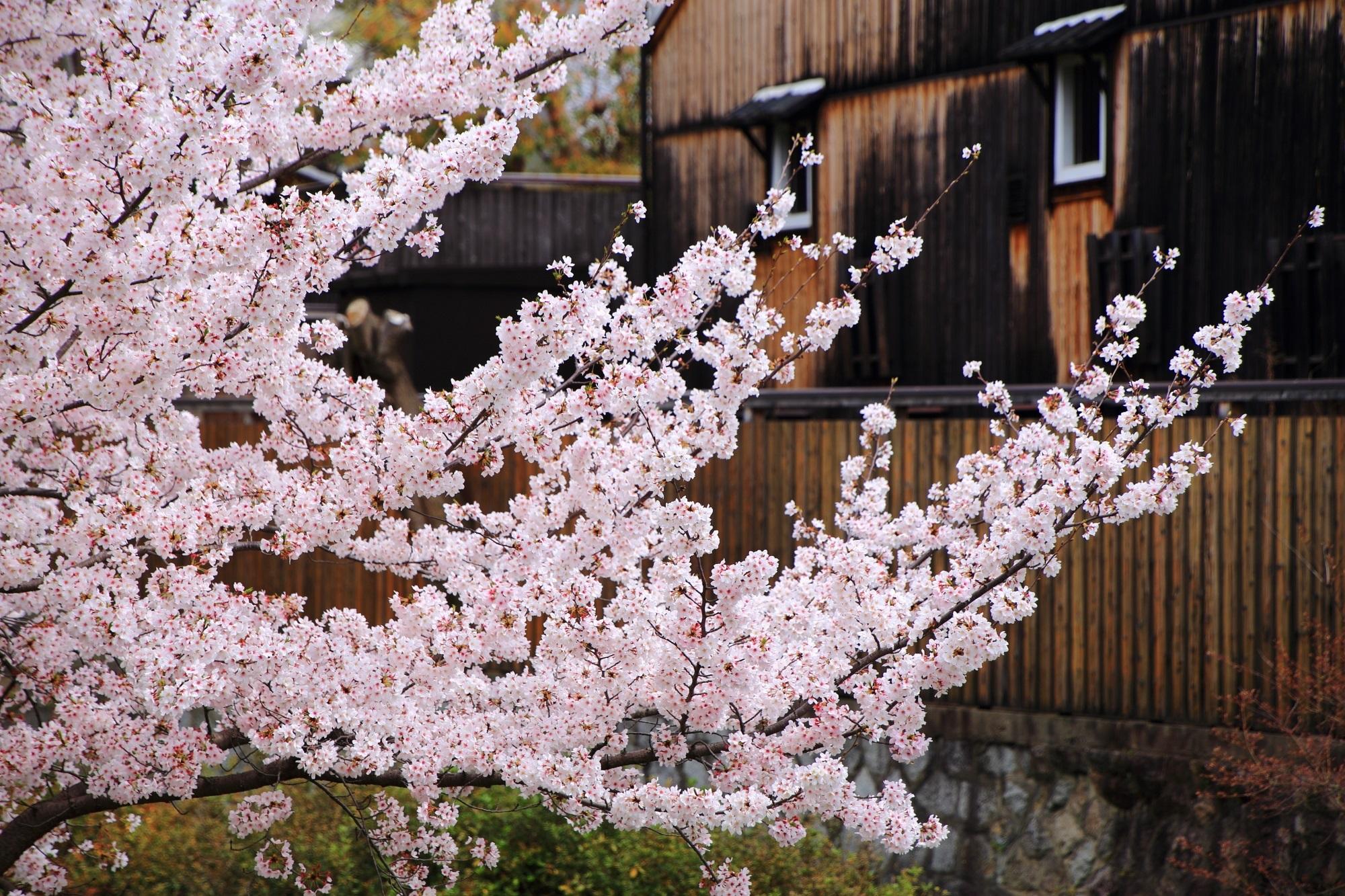 春色に染まる月桂冠大倉記念館
