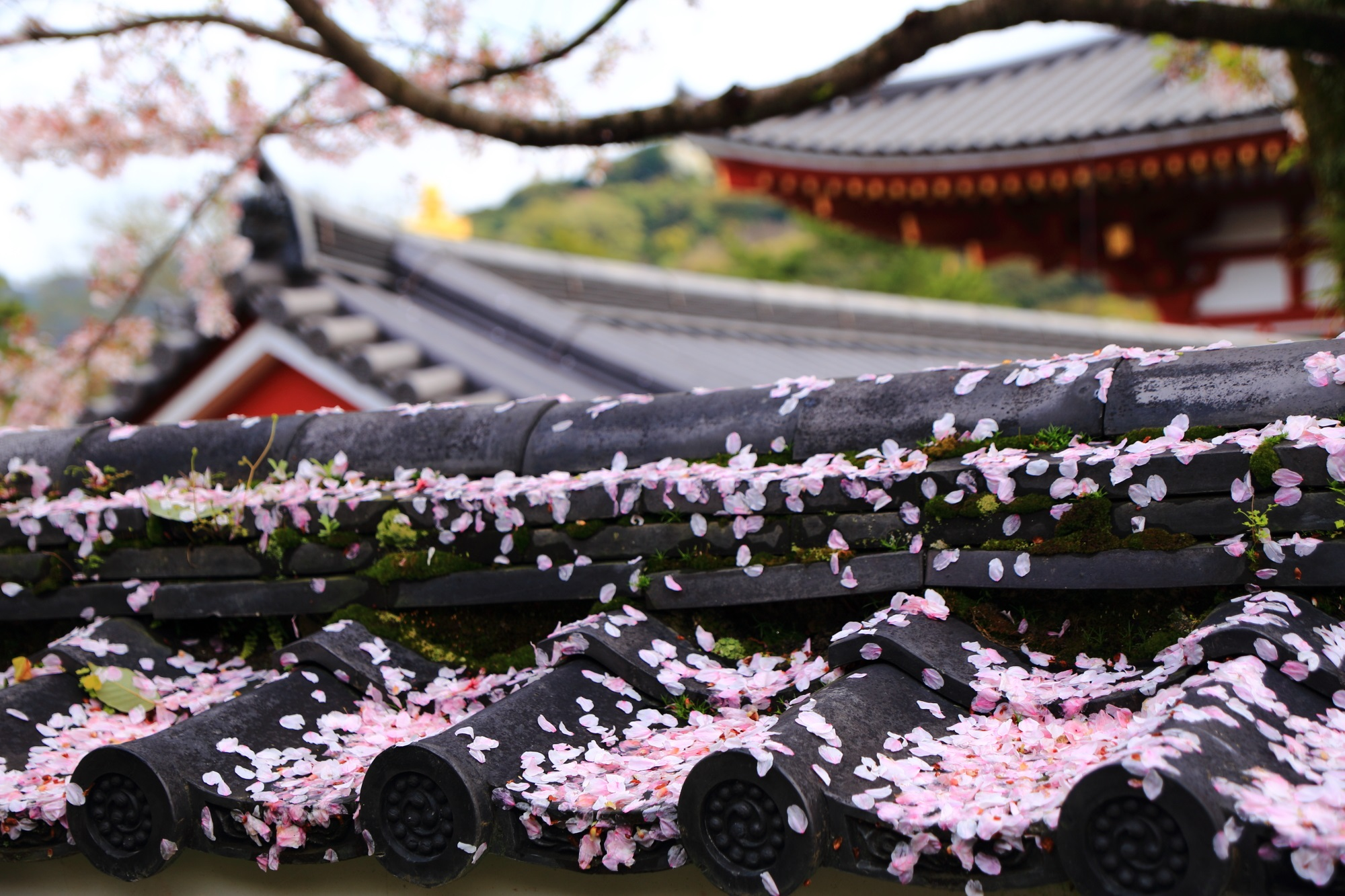 ピンクの散り桜で見事に染まる塀の屋根瓦