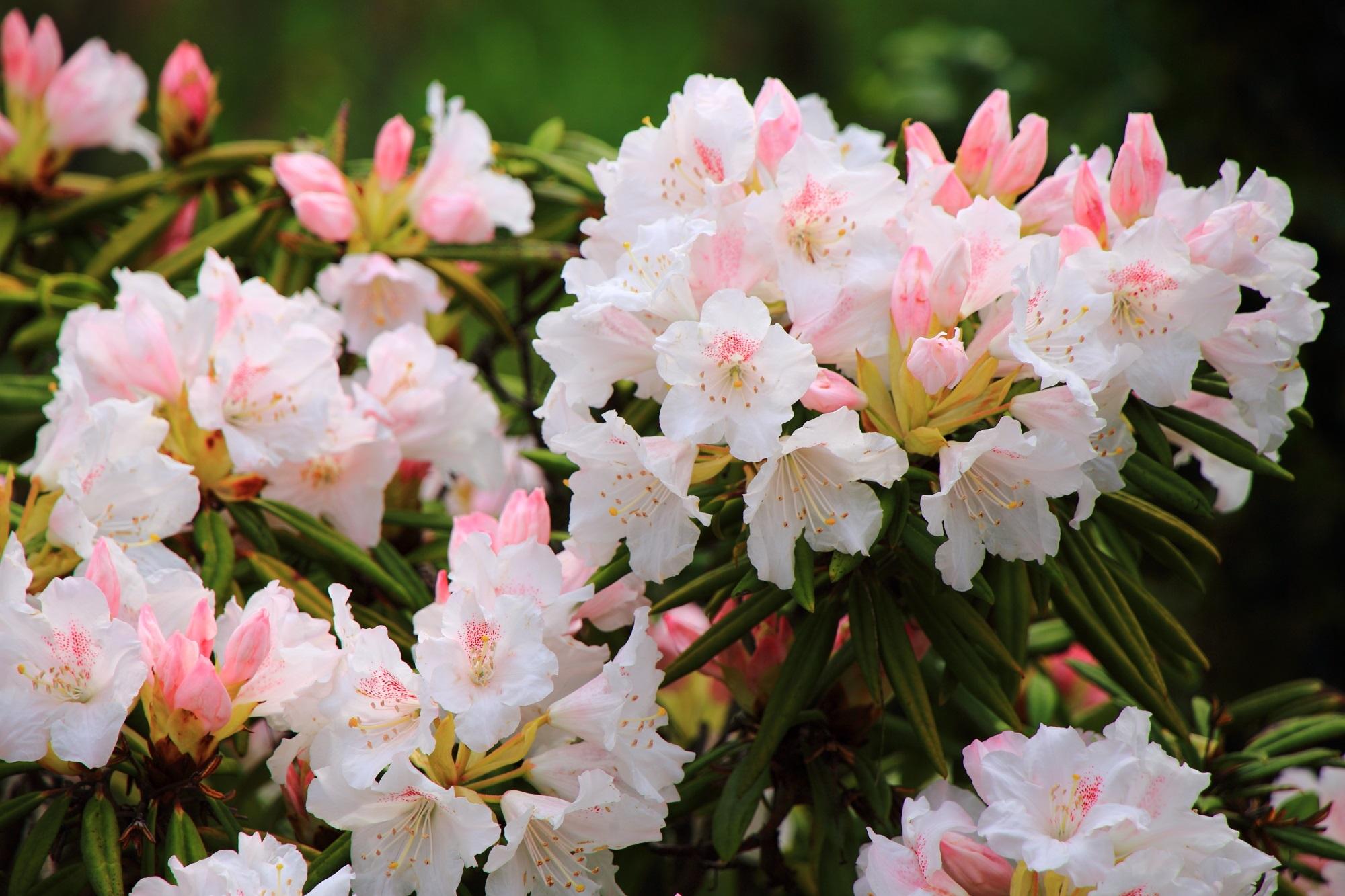 山門近くに咲く白とピンクの淡い色合いの石楠花
