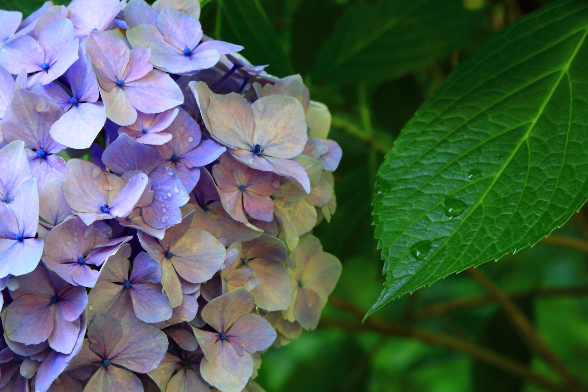 緑の葉とともに雨水で潤う紫陽花