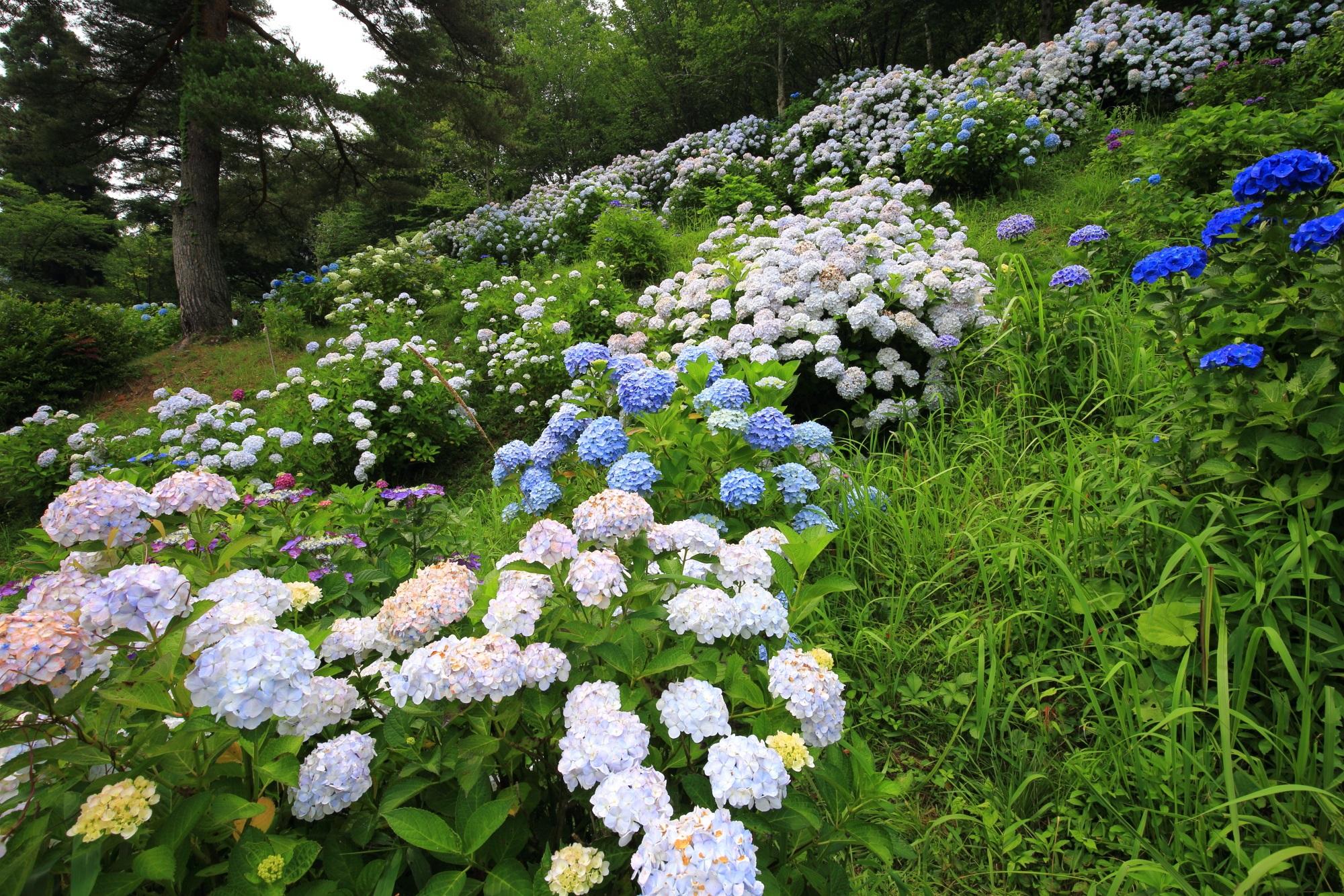 斜面一面を華やかな紫陽花が覆う舞鶴自然文化園