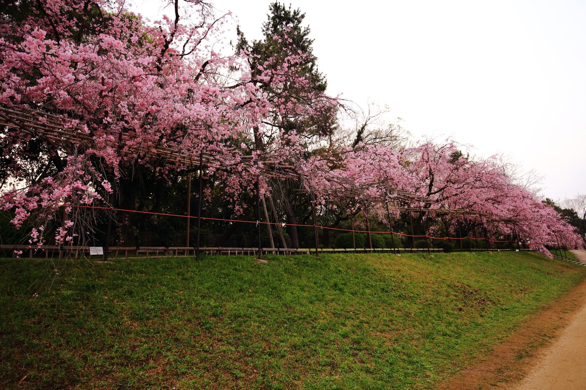 続く長いしだれ桜並木