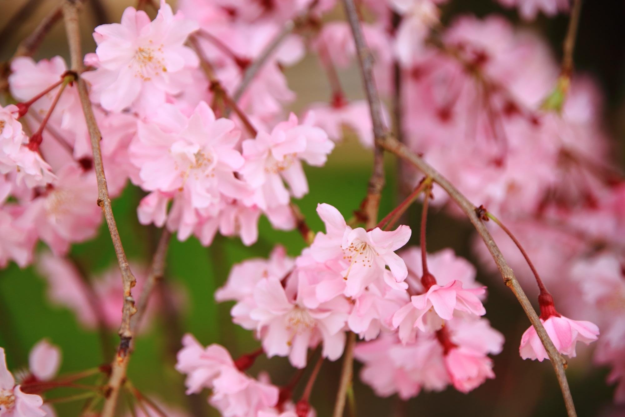 可憐で繊細な花をいっぱいつける半木の道のしだれ桜