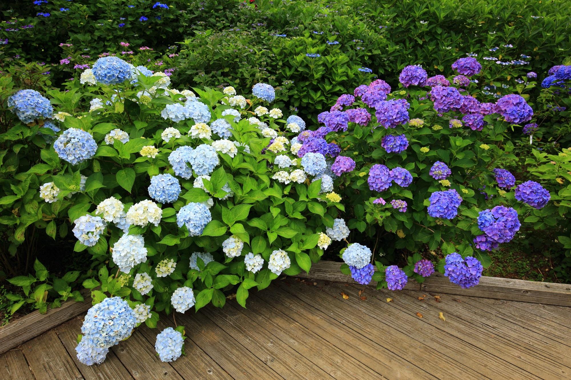 回廊に溢れ出す紫や淡い水色の紫陽花