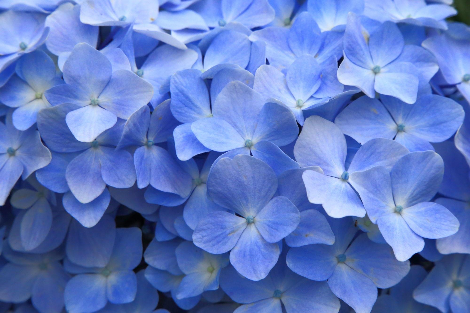 状態が良く花びら一枚一枚が綺麗な紫陽花