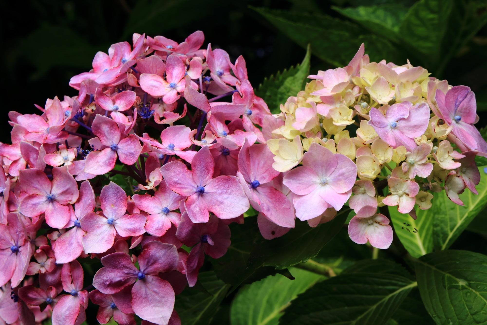 福知山観音寺のやや濃いめのピンクの紫陽花と開花中の紫陽花
