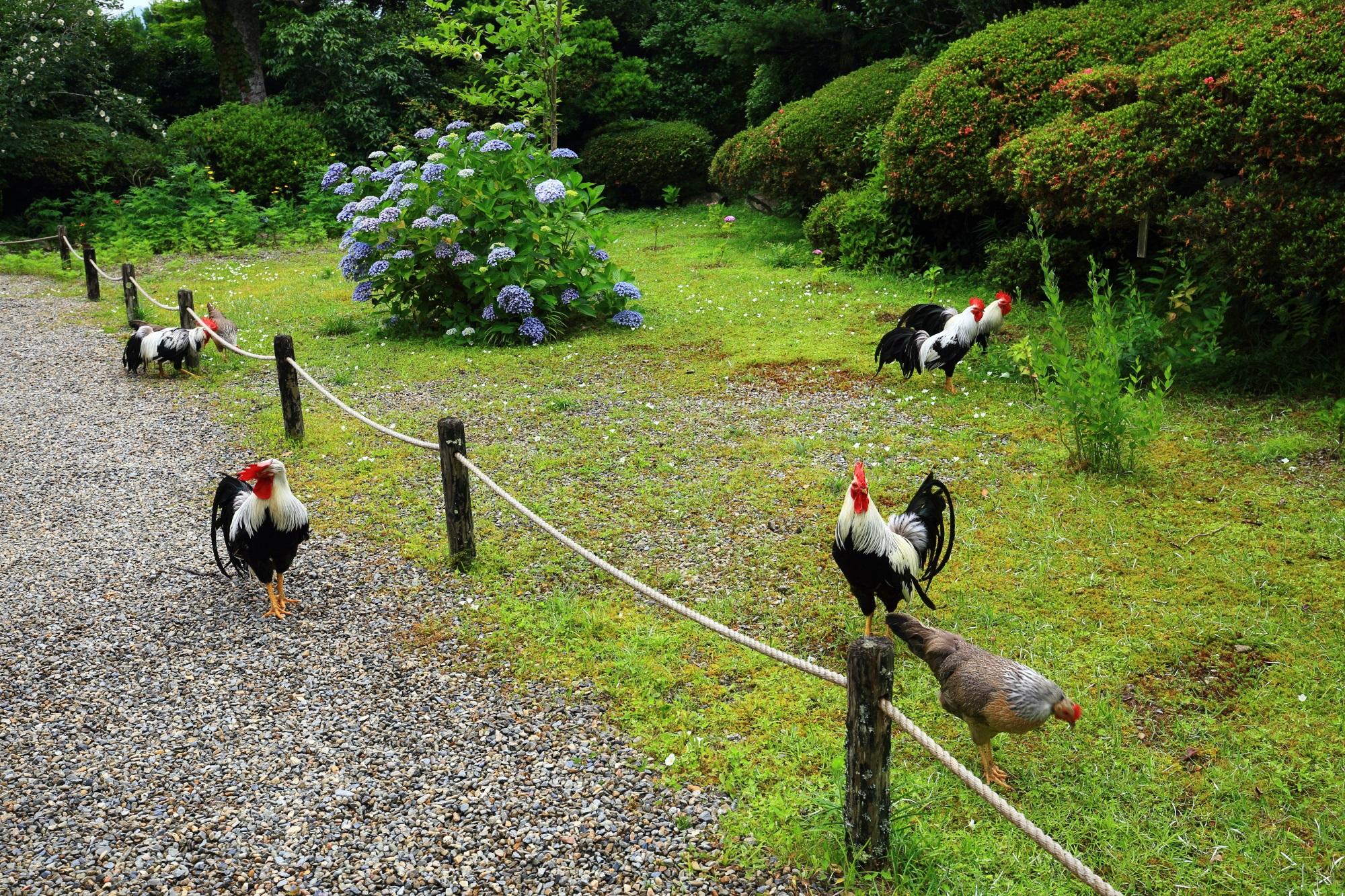 知らずに行けばびっくりする福知山の丹州観音寺にいるたくさんの鶏