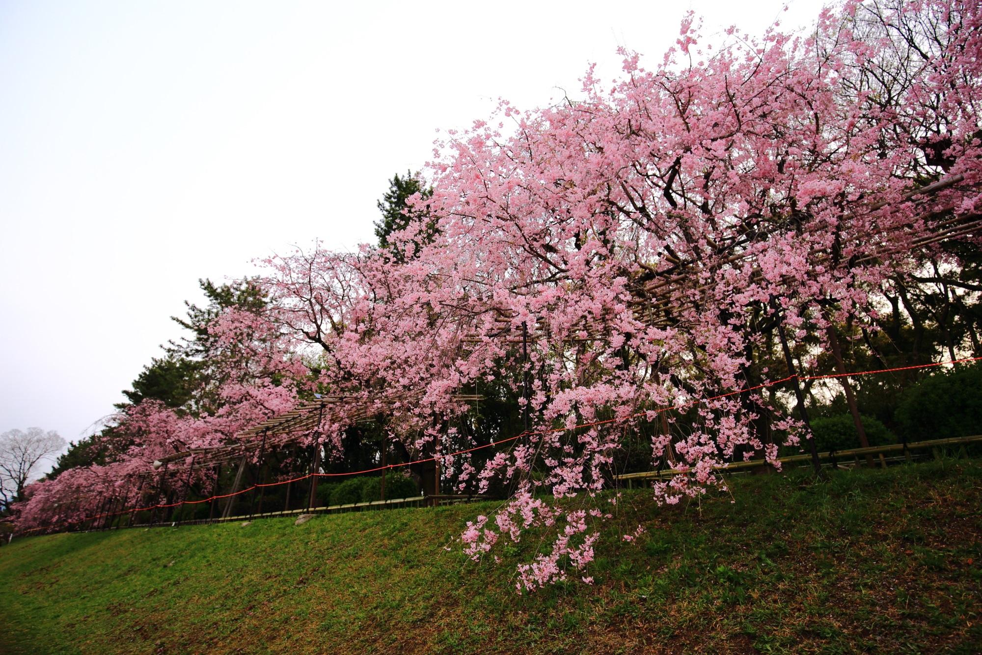 桜並木の道から緑の芝生まで溢れ出す満開のしだれ桜