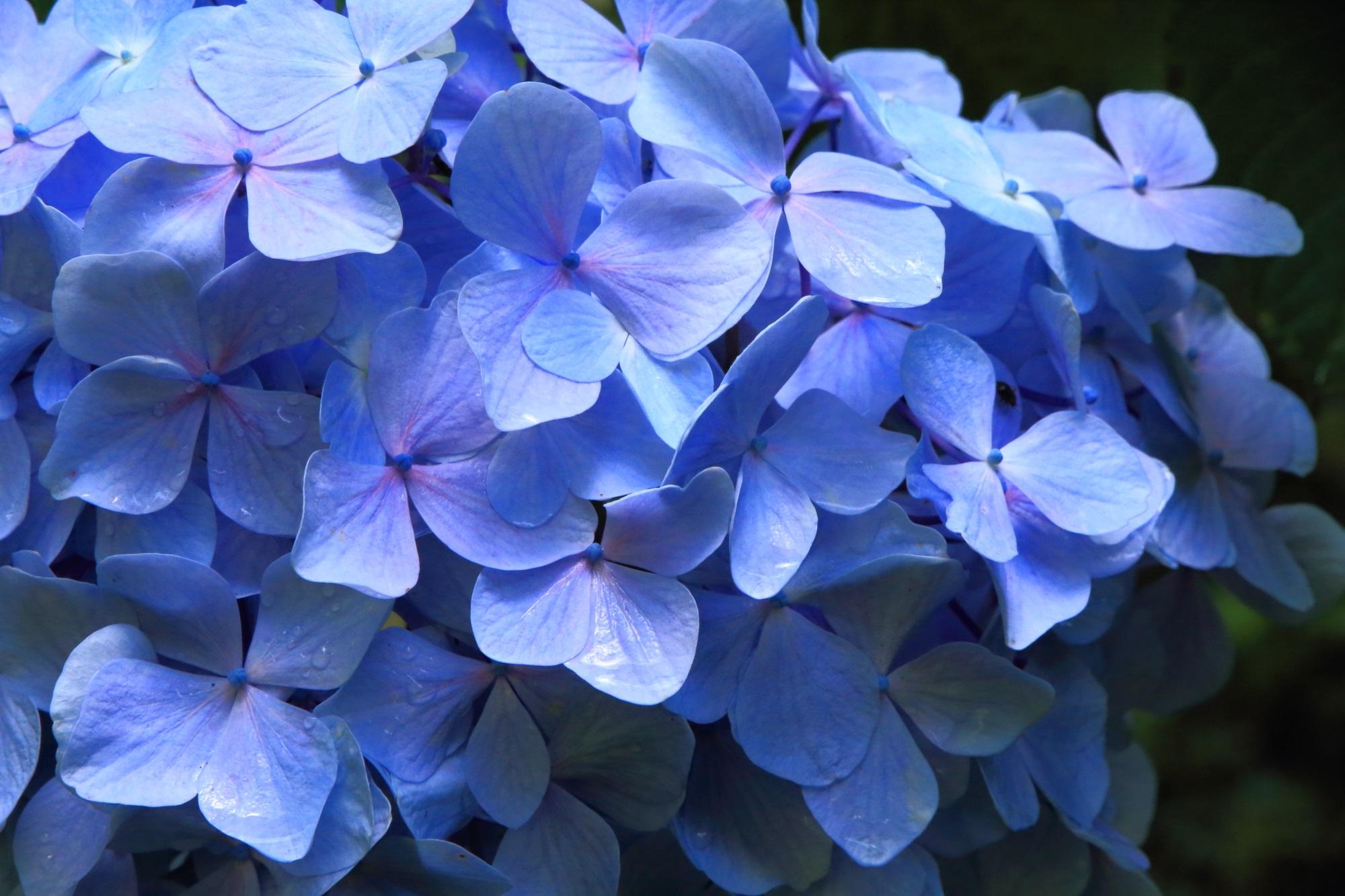 岩船寺の厳選の紫陽花たち