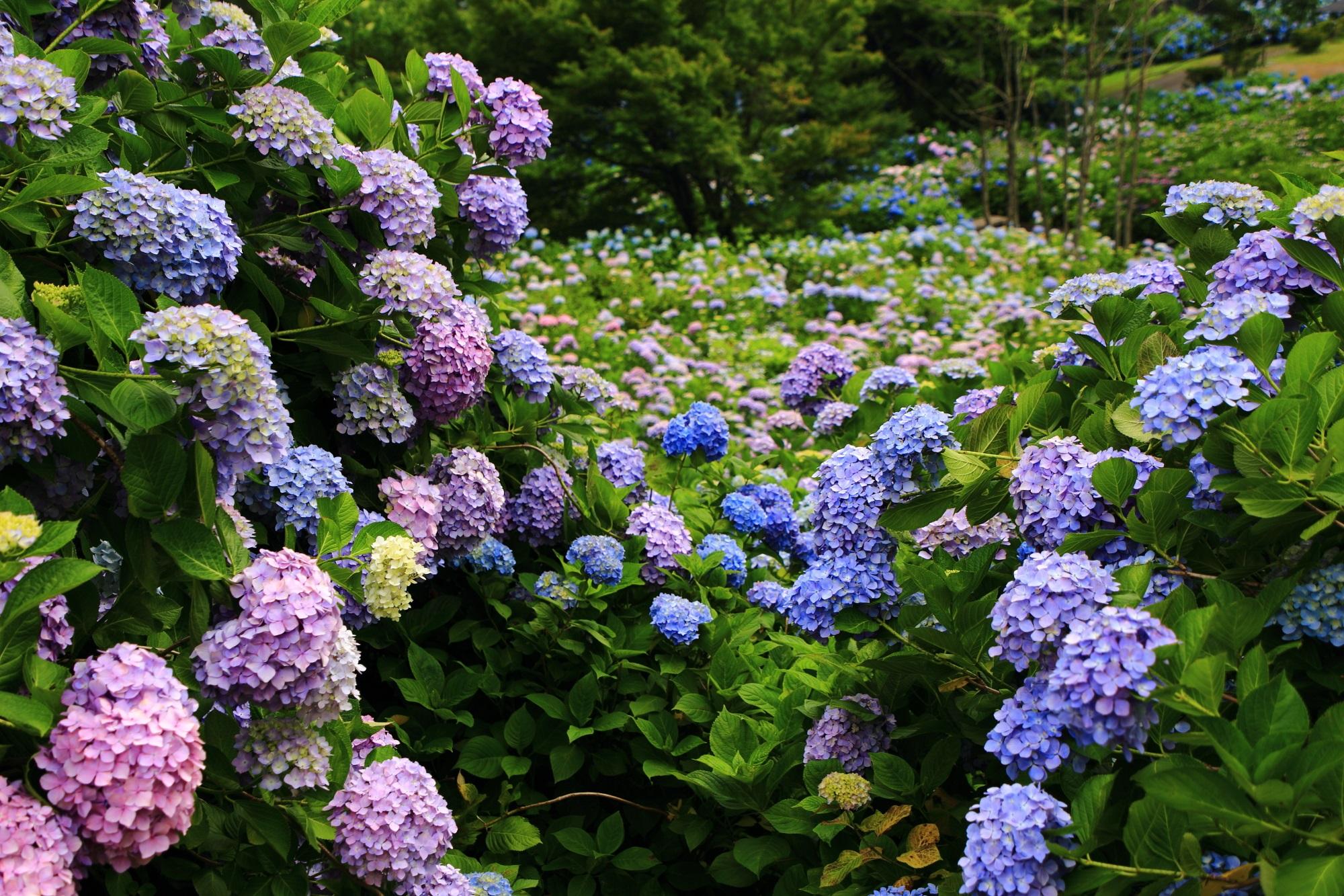 満開の紫陽花が収まりきらないゴージャスな舞鶴自然文化園