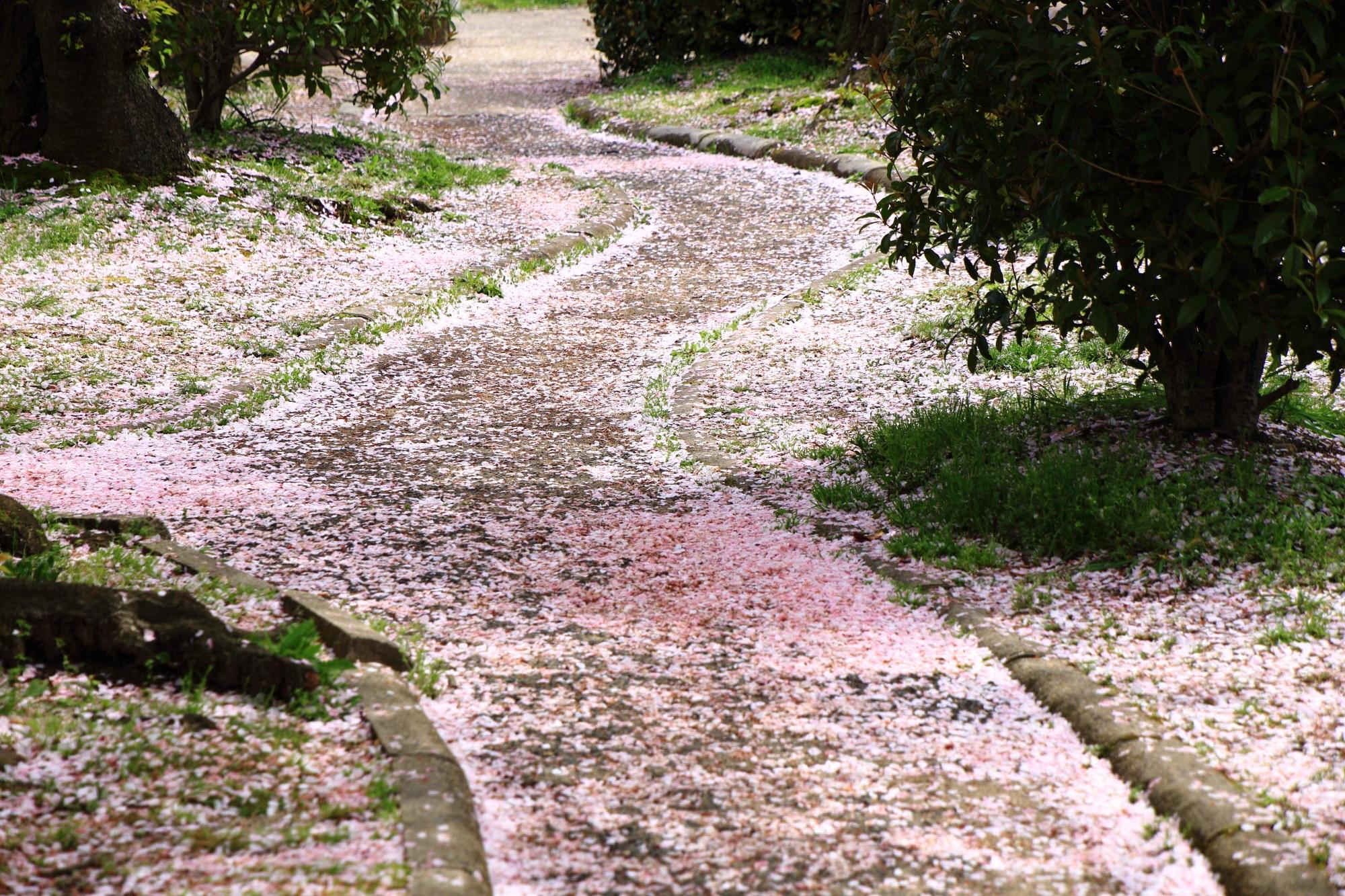岡崎疏水沿いの凄い散り桜