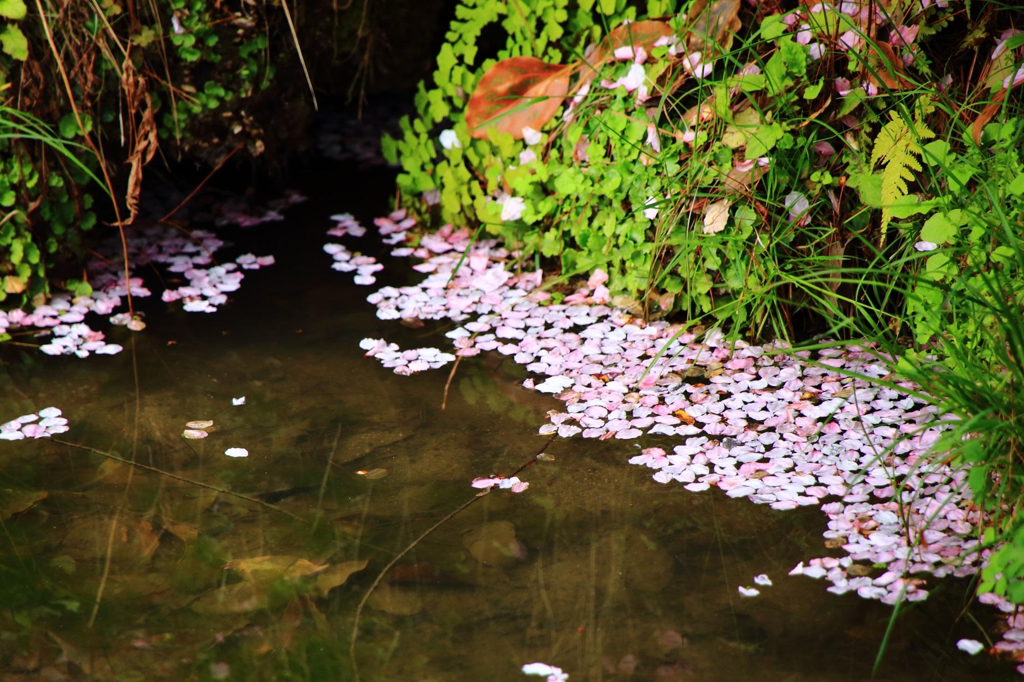水面を彩るピンクの散り桜