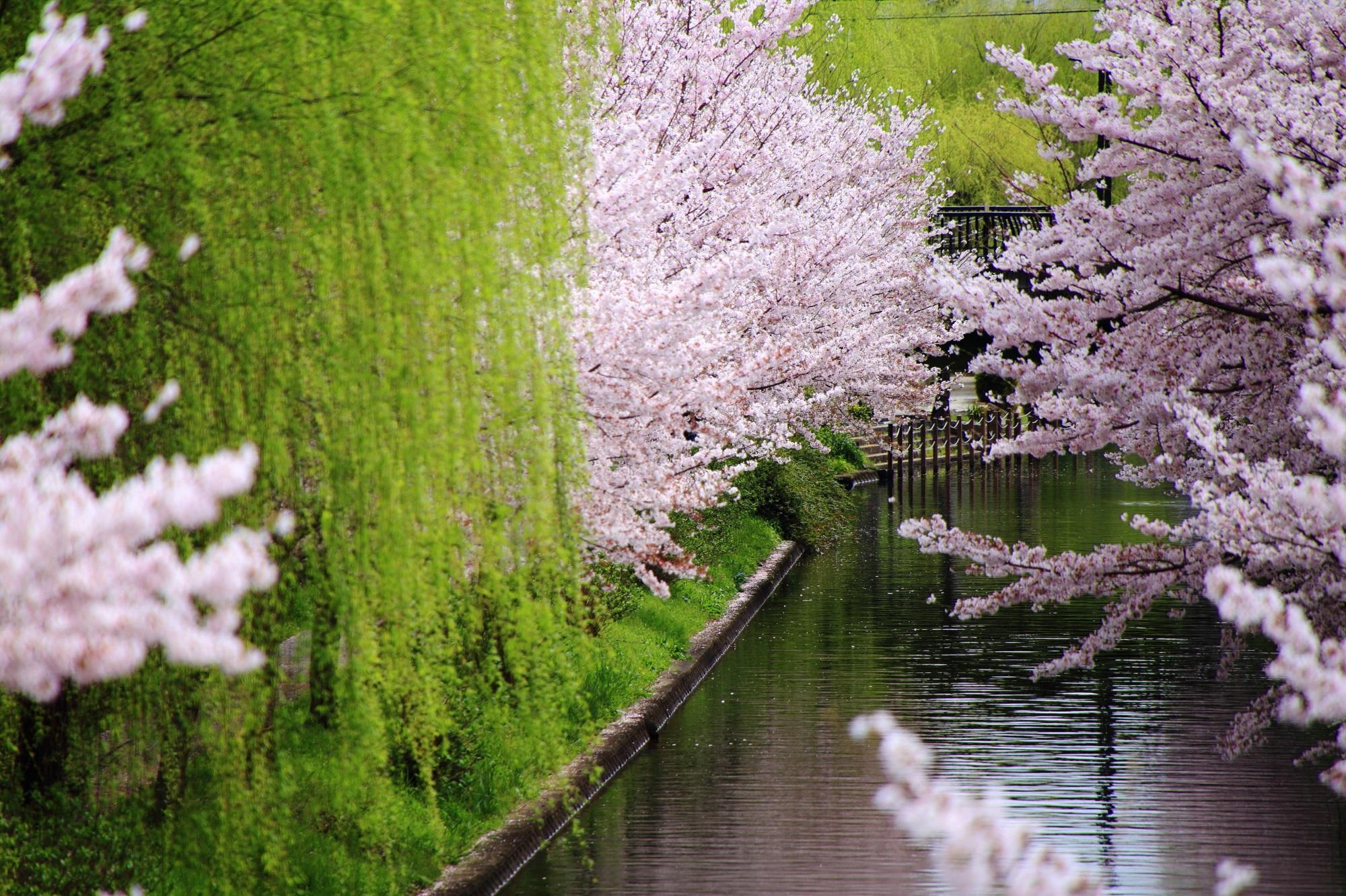 柳が良い感じに演出する桜